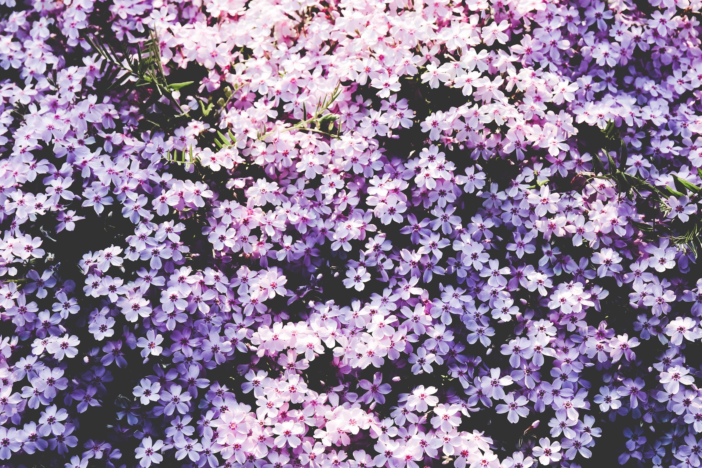 100714 скачать обои Поляна, Цветы, Сиреневый - заставки и картинки бесплатно