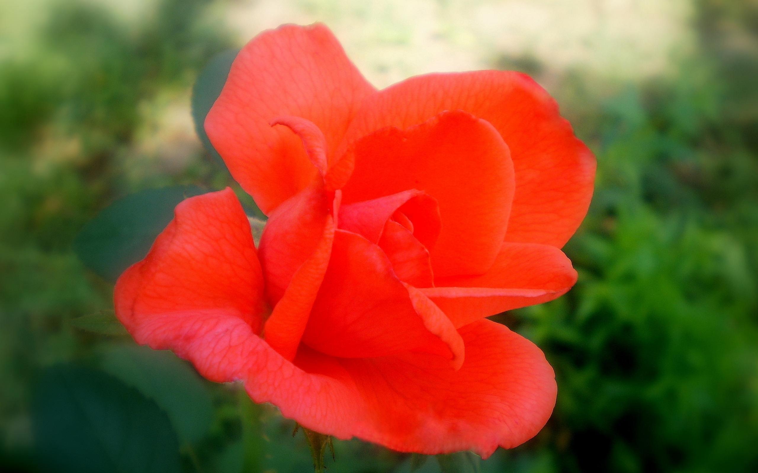 3405 скачать обои Растения, Цветы, Розы - заставки и картинки бесплатно