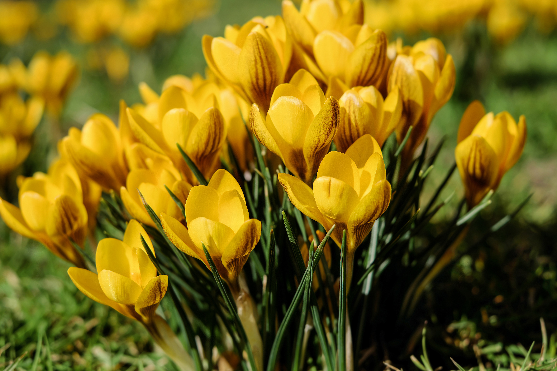156475 Заставки и Обои Подснежники на телефон. Скачать Цветы, Подснежники, Желтый, Весна картинки бесплатно