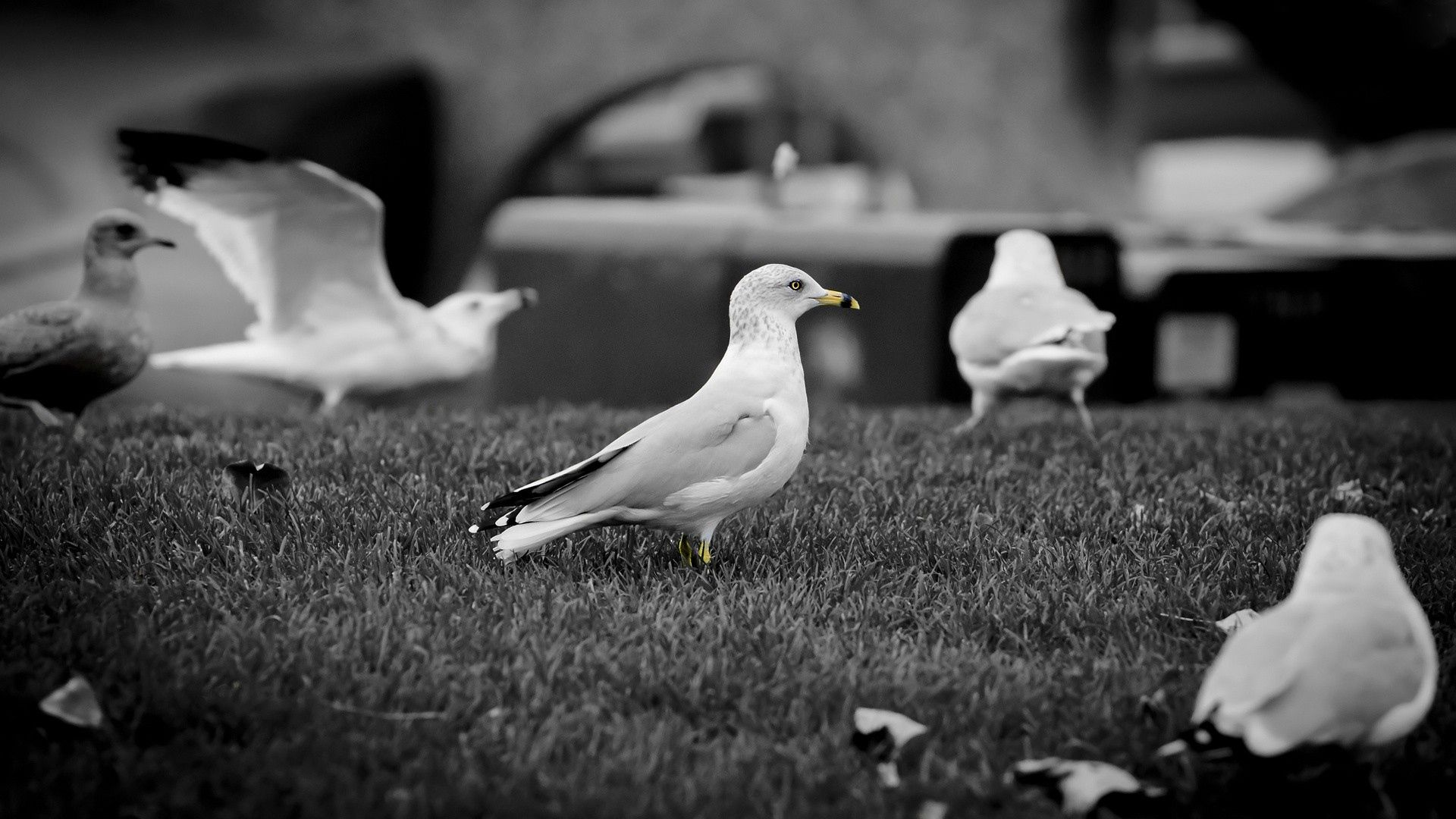 127364 download wallpaper Animals, Stroll, Flock, Bw, Chb, Birds, Seagulls screensavers and pictures for free