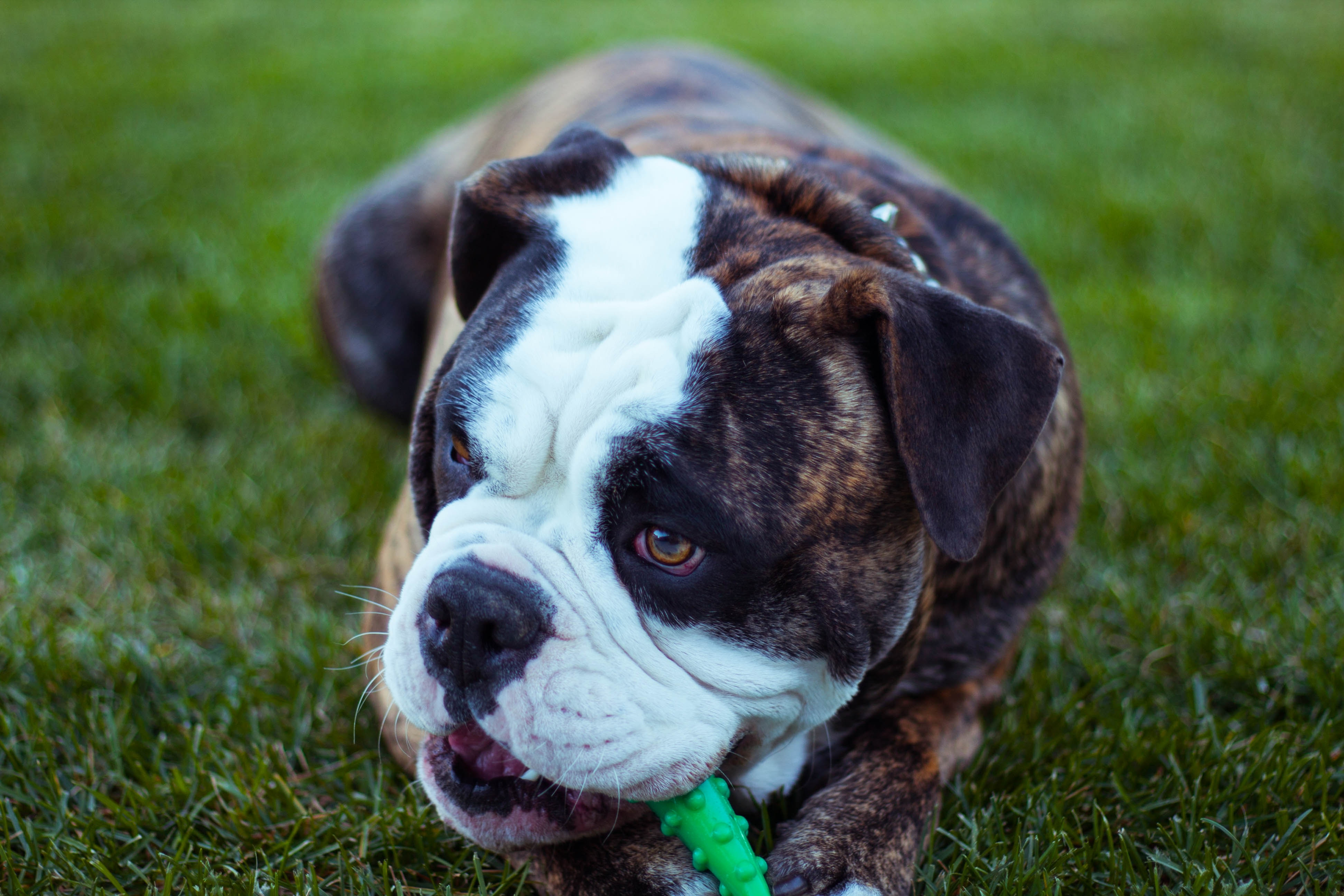 131082 download wallpaper Animals, Dog, Bulldog, Muzzle, Playful screensavers and pictures for free