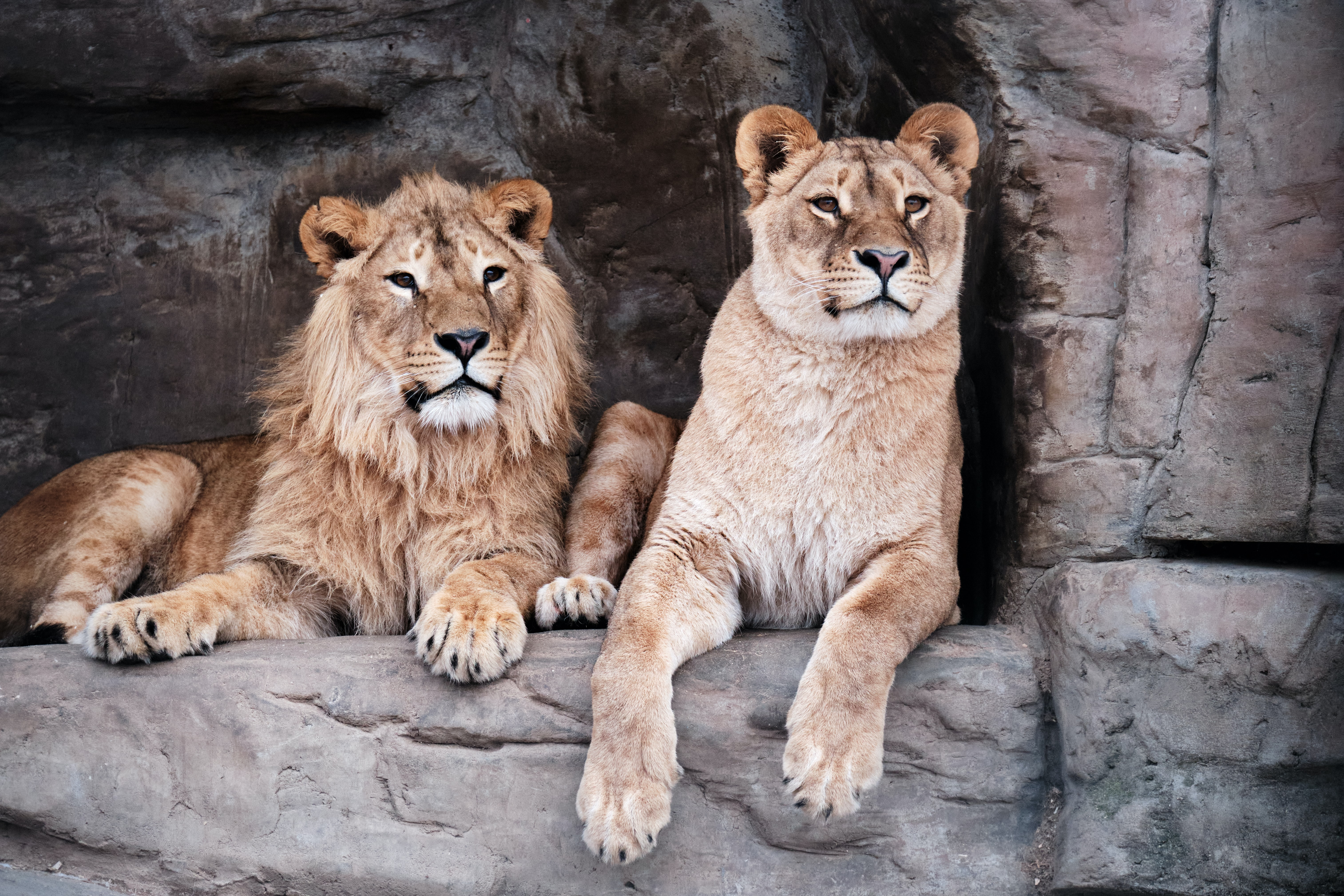 101621 download wallpaper Animals, Lioness, Lion, Animal, Big Cat, Predator screensavers and pictures for free