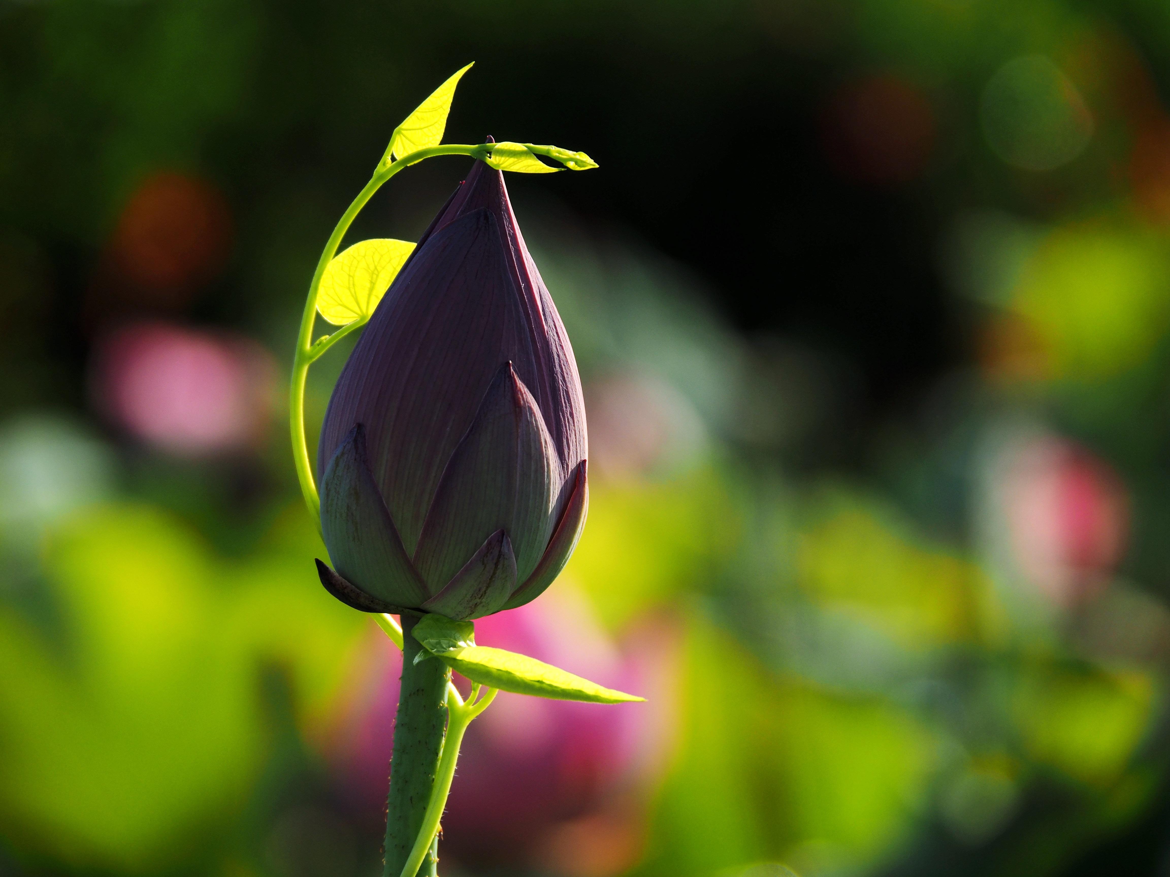 61122 Hintergrundbild herunterladen Blumen, Lotus, Knospe, Bud, Unschärfe, Glatt, Stengel, Stiel - Bildschirmschoner und Bilder kostenlos