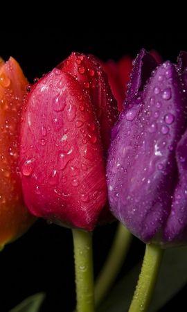 13857 télécharger le fond d'écran Plantes, Fleurs, Tulipes, Drops - économiseurs d'écran et images gratuitement