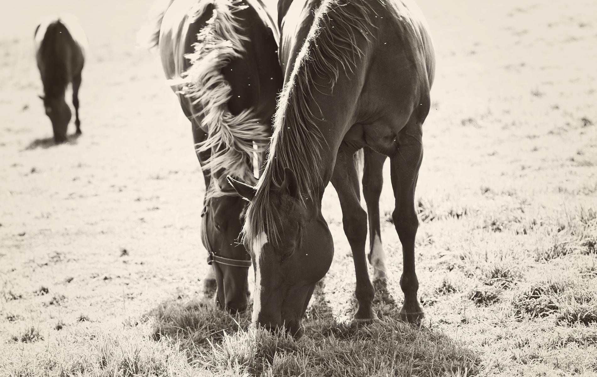 81337 скачать обои Животные, Лошади, Пара, Трава, Прогулка, Еда - заставки и картинки бесплатно