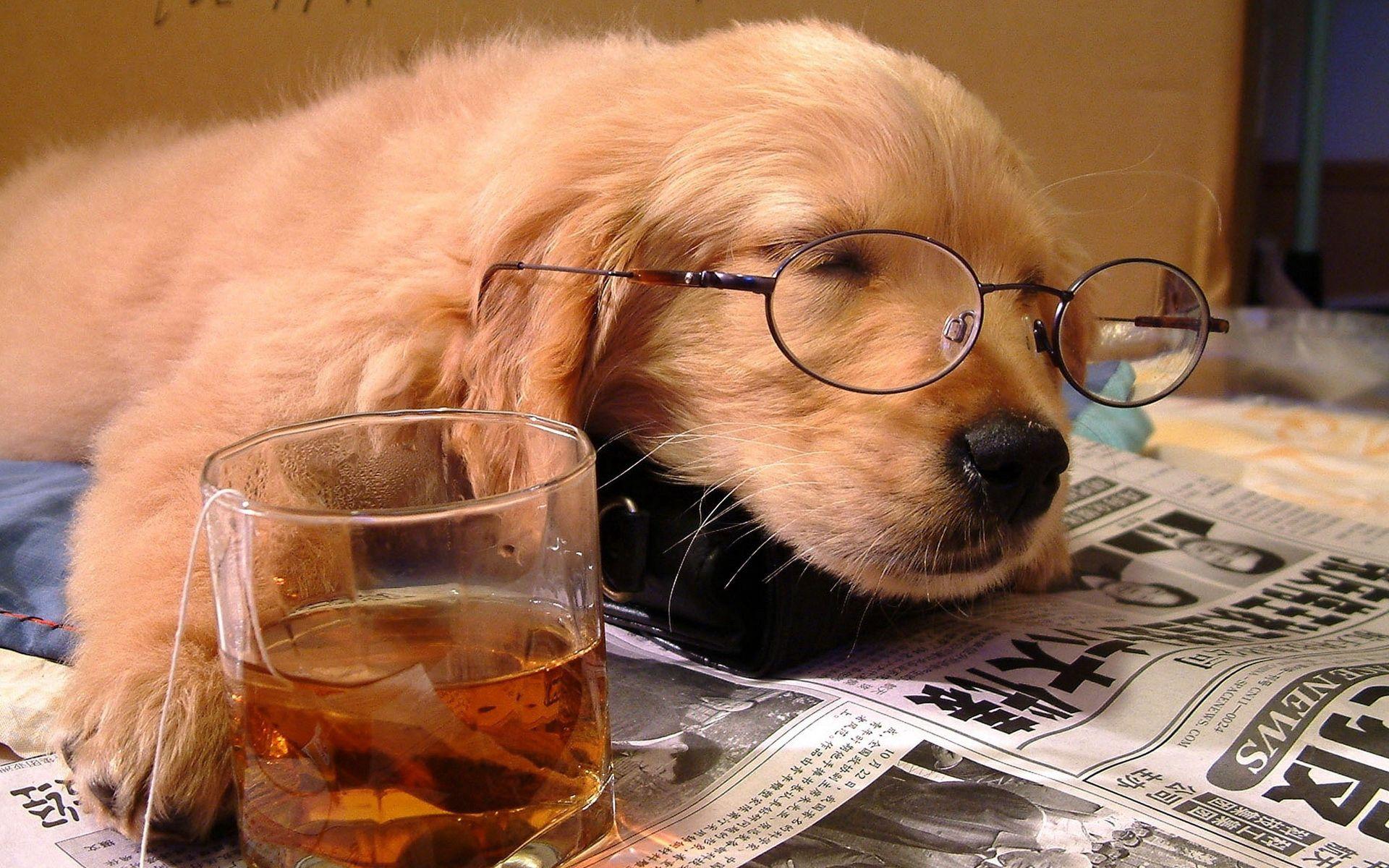 157781 скачать обои Животные, Собака, Сон, Щенок, Морда, Очки, Газета, Стакан, Напиток, Чайный Пакетик, Ситуация, Спящий - заставки и картинки бесплатно