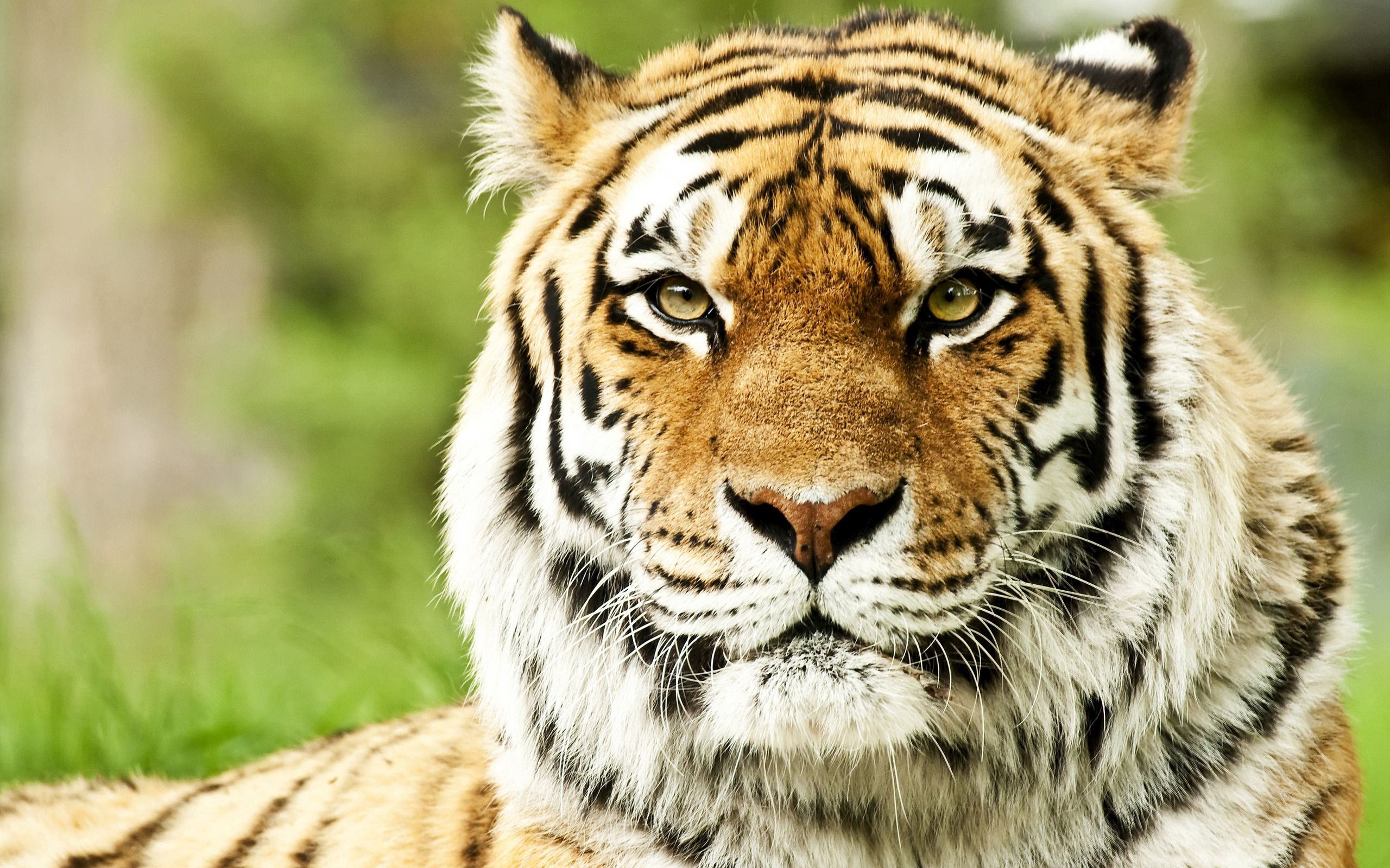 64614 Screensavers and Wallpapers Striped for phone. Download Animals, Muzzle, Striped, Predator, Color, Tiger pictures for free