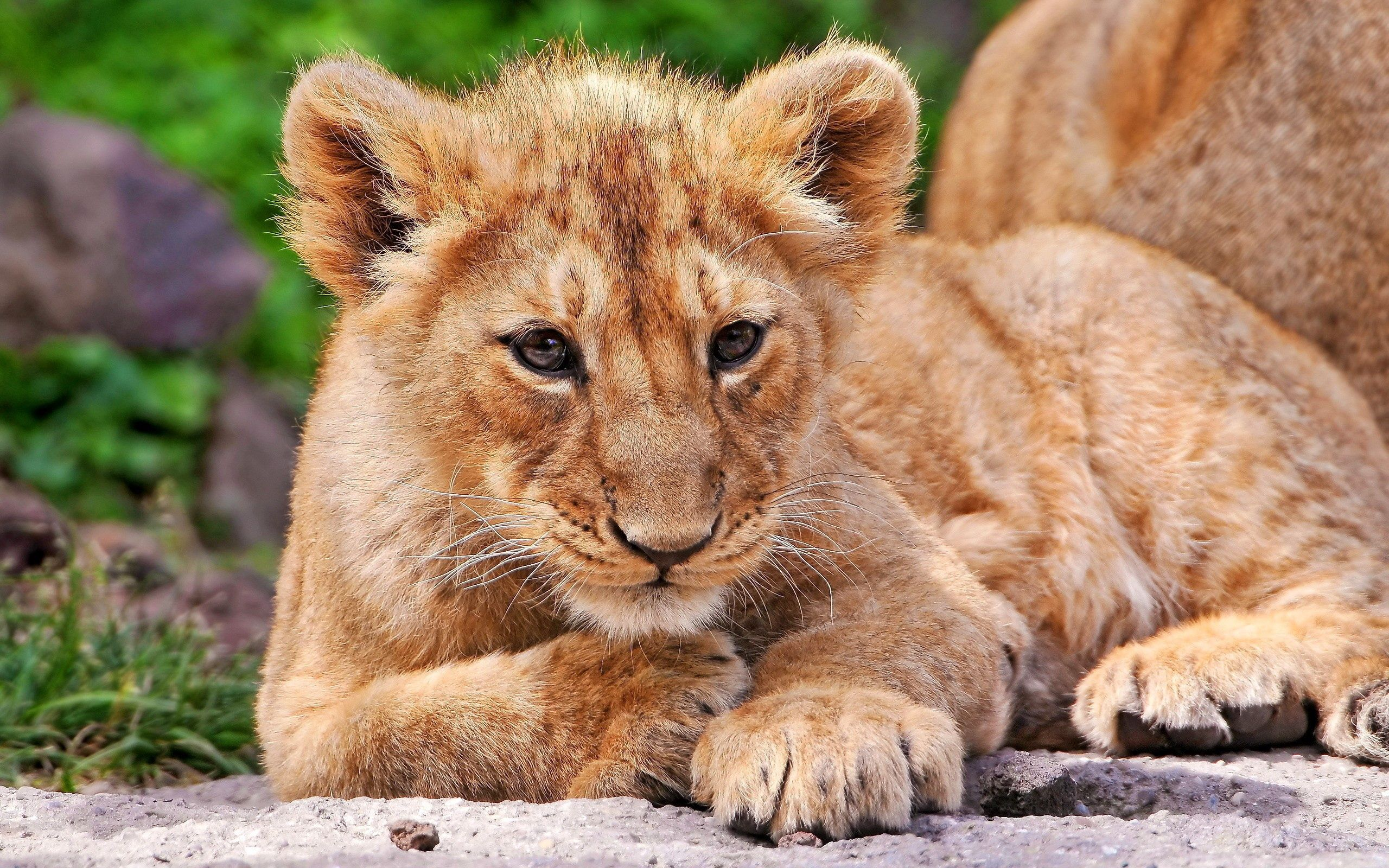 139712 download wallpaper Animals, Lion Cub, Lion, To Lie Down, Lie, Kid, Tot, Expectation, Waiting, Fear screensavers and pictures for free