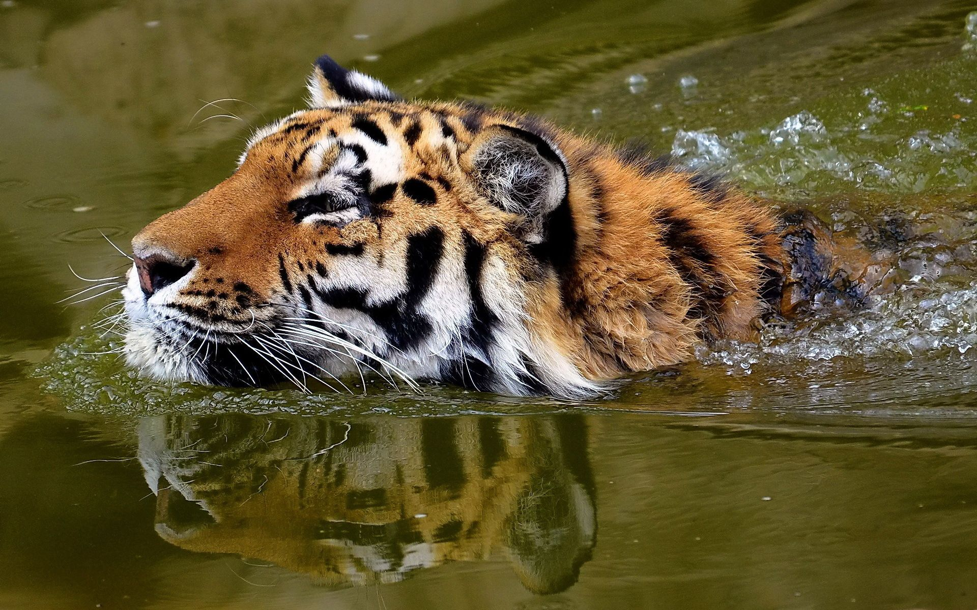 72947 download wallpaper Animals, Water, Muzzle, Tiger, To Swim, Swim screensavers and pictures for free