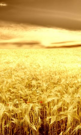 40584 скачать обои Пейзаж, Поля, Пшеница - заставки и картинки бесплатно