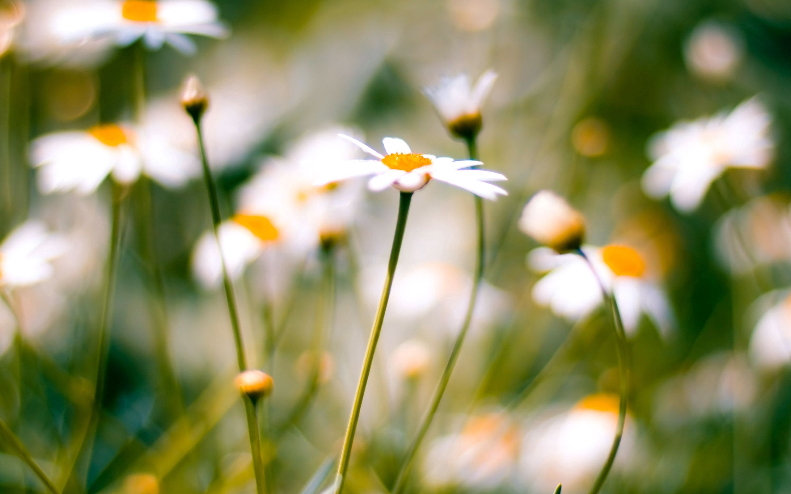 109469 Hintergrundbild herunterladen Kamille, Blume, Pflanze, Makro, Unschärfe, Glatt, Feld - Bildschirmschoner und Bilder kostenlos