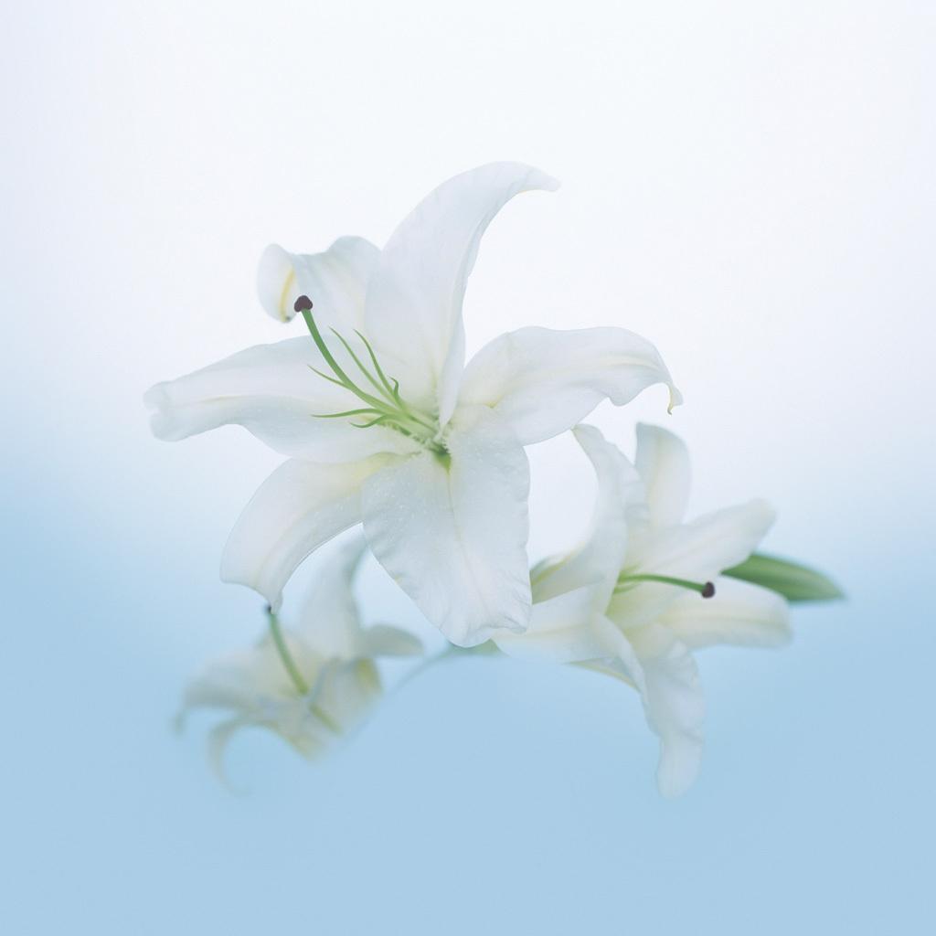 15264 скачать обои Растения, Цветы, Лилии - заставки и картинки бесплатно
