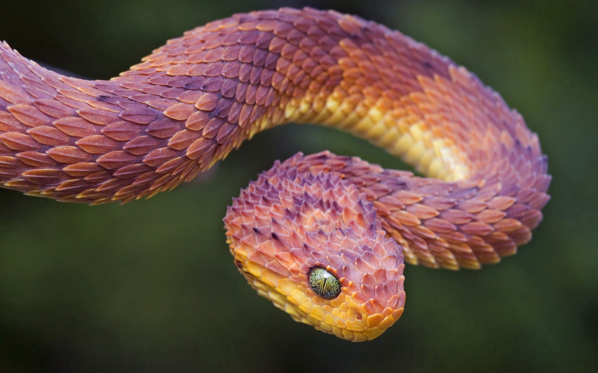 115164 Screensavers and Wallpapers Snake for phone. Download Animals, Color, Snake, Scales, Scale, Bend pictures for free