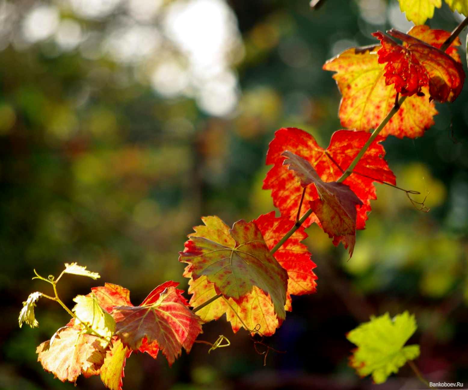 17161 скачать обои Растения, Листья, Виноград - заставки и картинки бесплатно