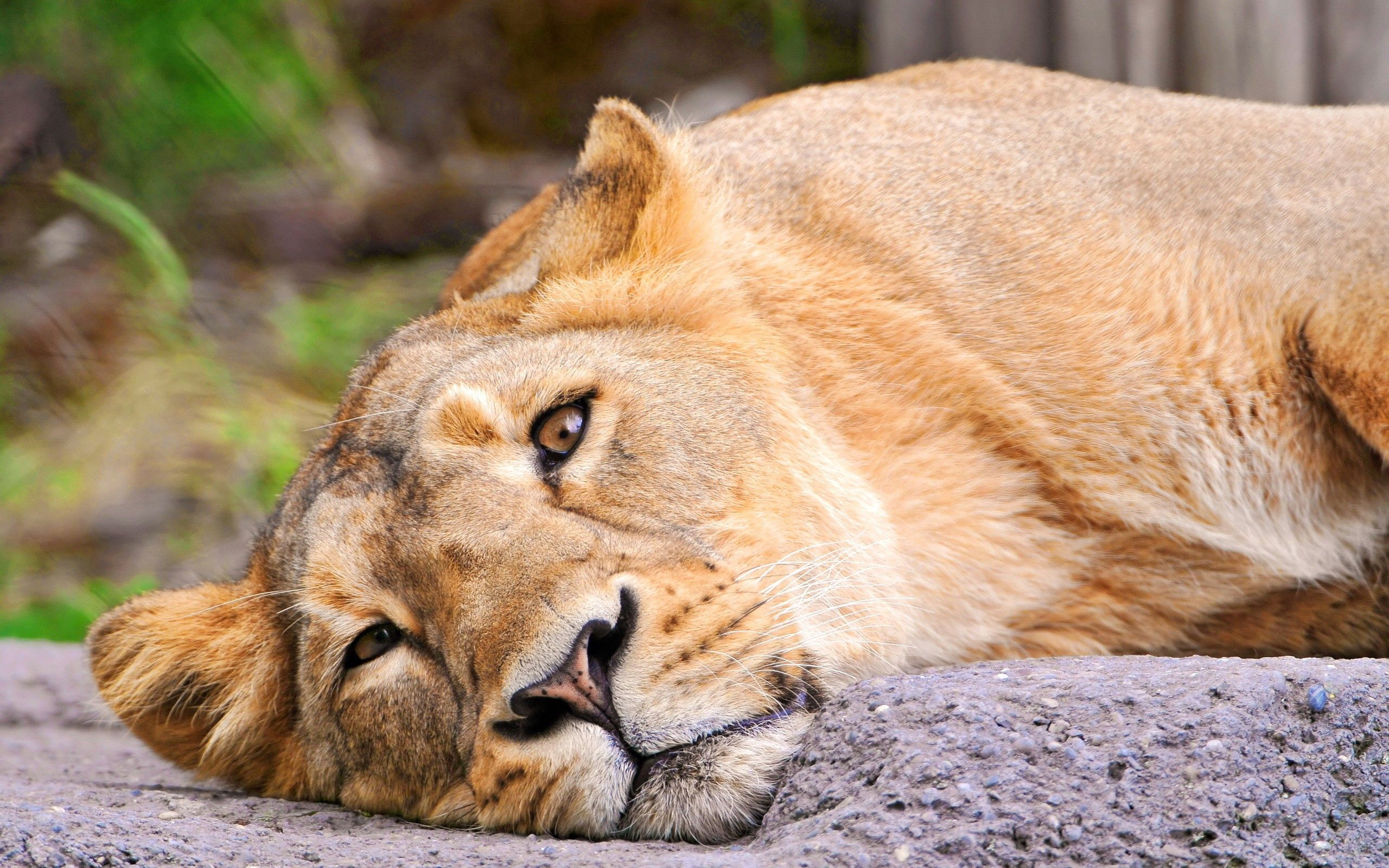 116938 download wallpaper Animals, Lioness, Muzzle, Lies screensavers and pictures for free