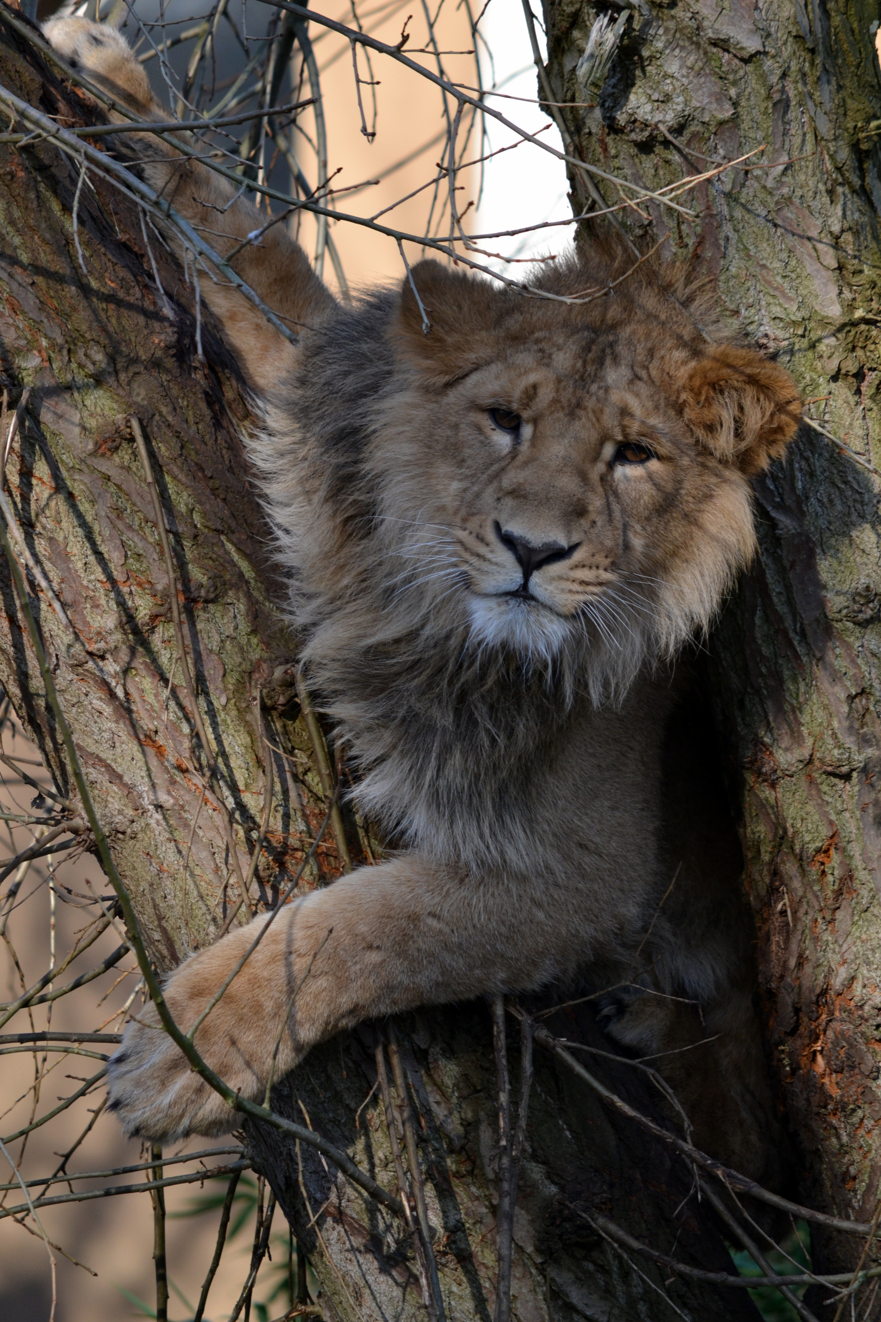 63637 download wallpaper Animals, Lion, Wood, Tree, Beast, Big Cat, Wildlife screensavers and pictures for free