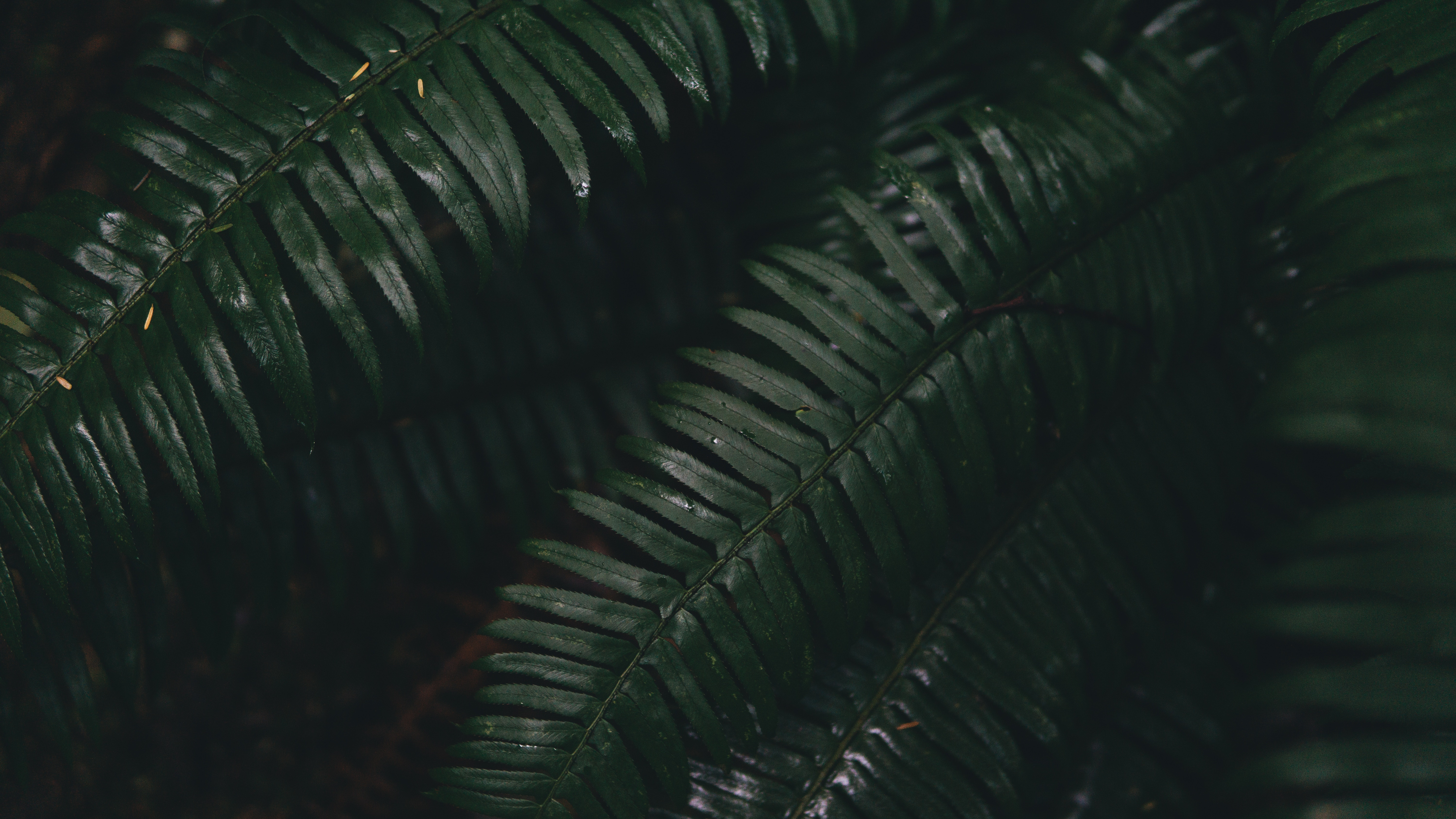 82513 download wallpaper Leaves, Plant, Macro, Fern screensavers and pictures for free