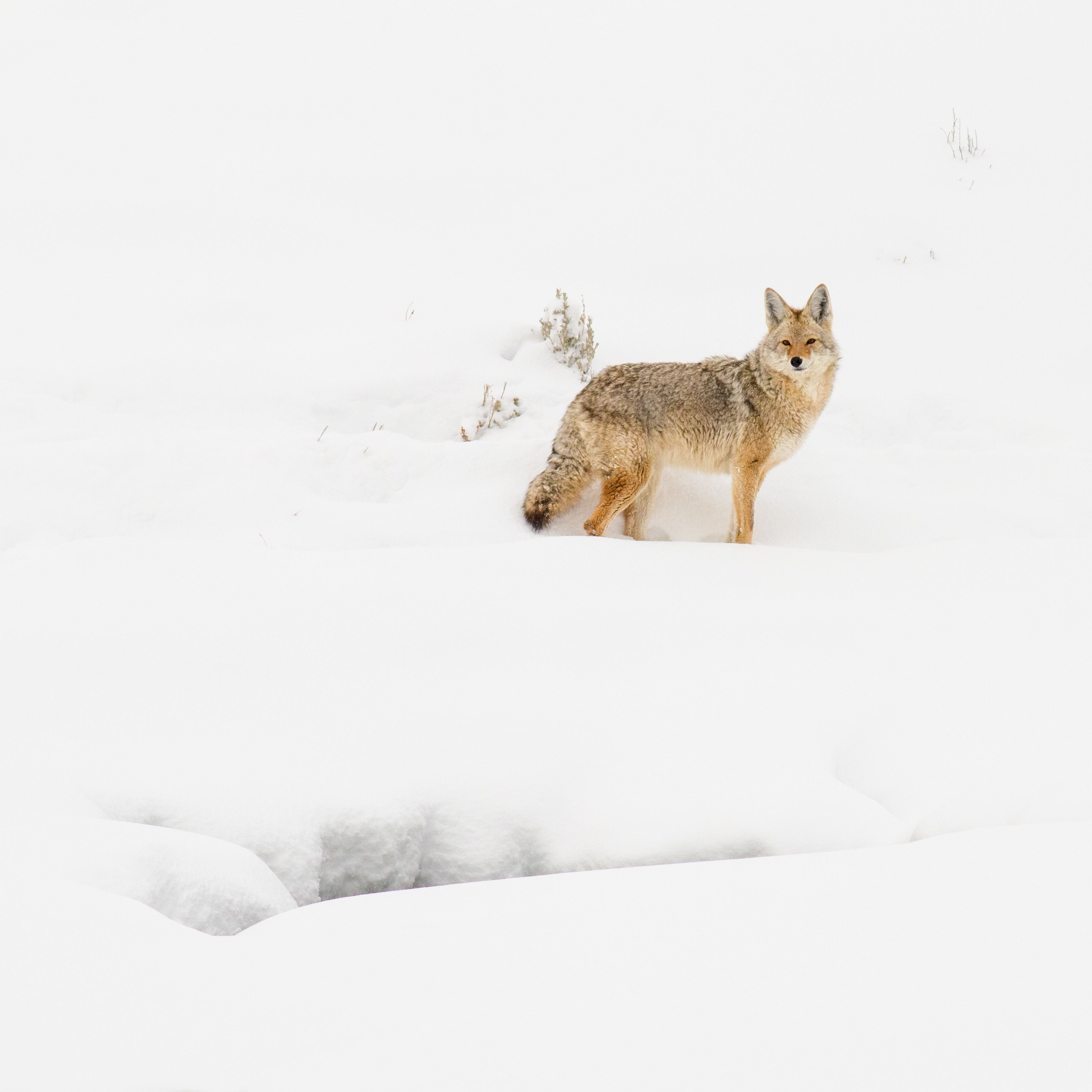 65125 download wallpaper Animals, Coyote, Beast, Snow, Winter, Wildlife screensavers and pictures for free