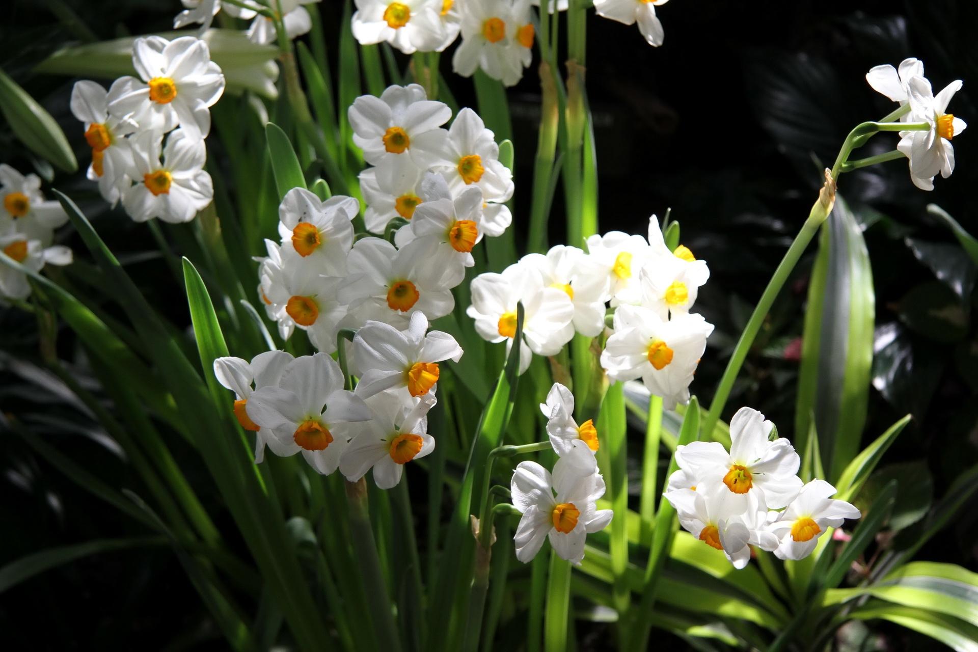 132758 Заставки и Обои Нарциссы на телефон. Скачать Цветы, Нарциссы, Зелень, Клумба, Весна, Настроение картинки бесплатно
