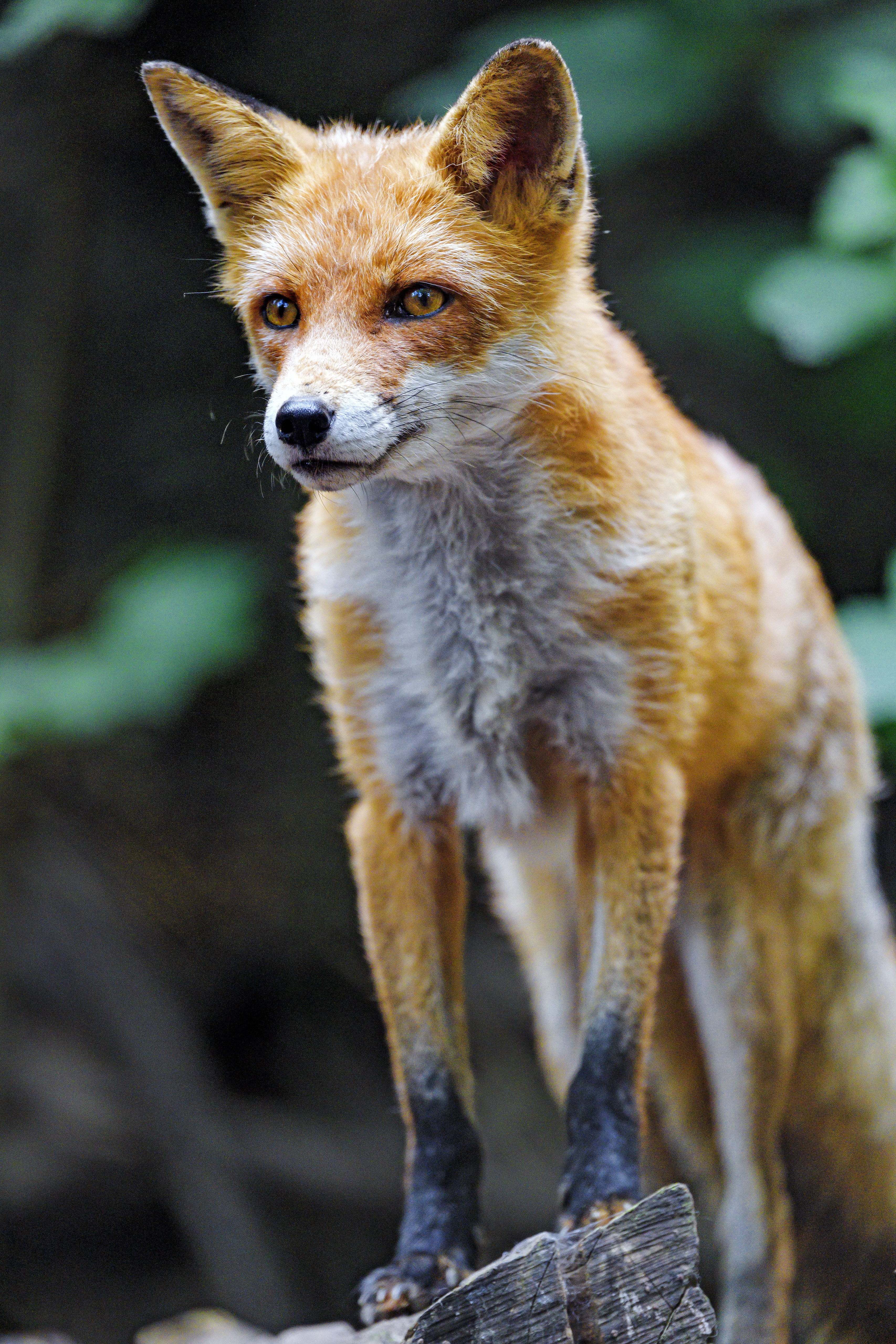 75107 download wallpaper Animals, Fox, Predator, Sight, Opinion, Animal, Redhead screensavers and pictures for free
