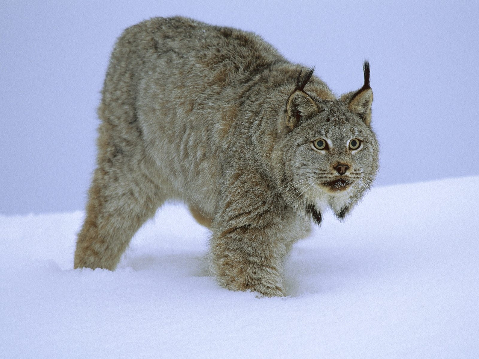 3551 download wallpaper Animals, Winter, Snow, Bobcats screensavers and pictures for free