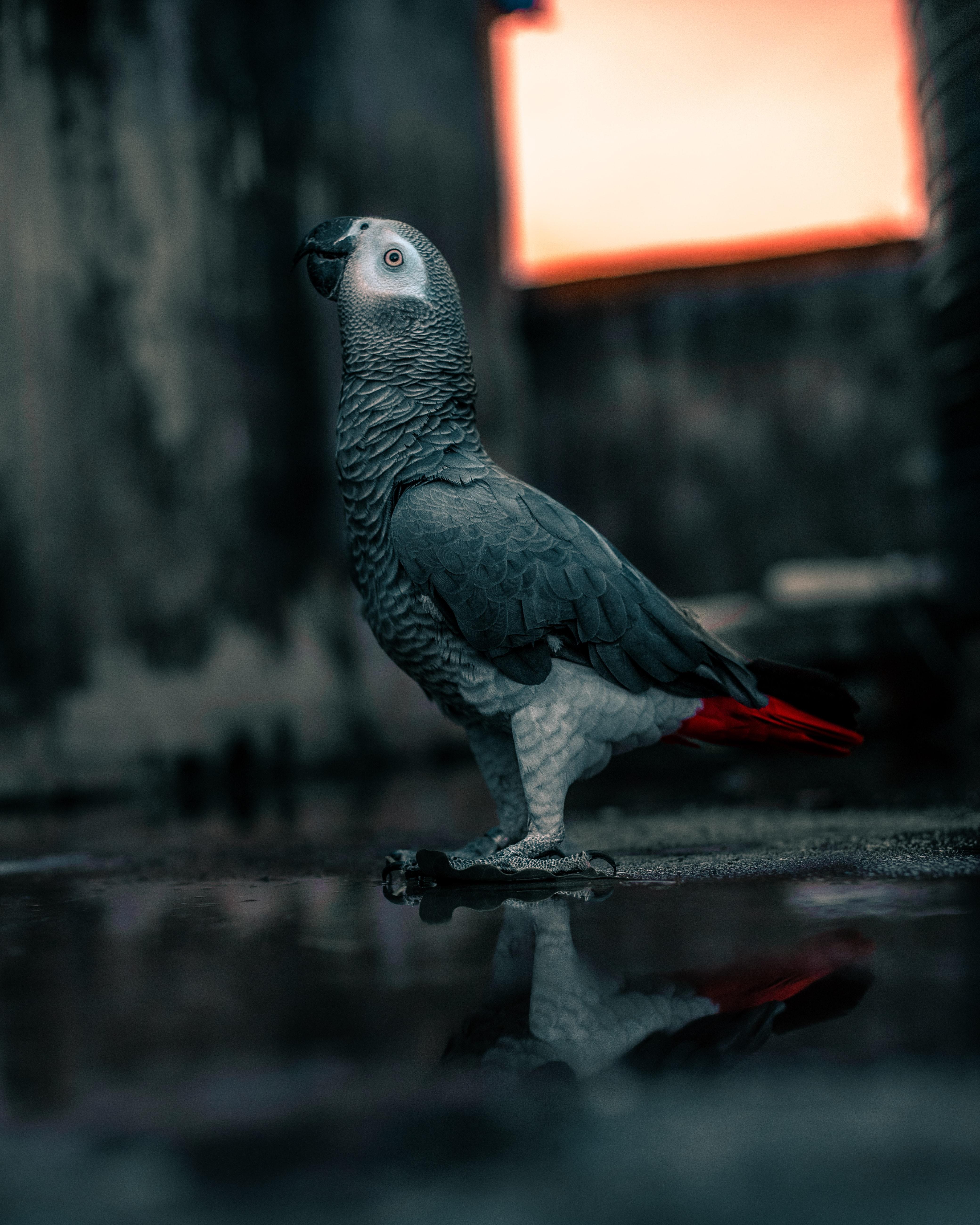 50479 Заставки и Обои Попугаи на телефон. Скачать Попугаи, Животные, Птица, Серый, Неон картинки бесплатно