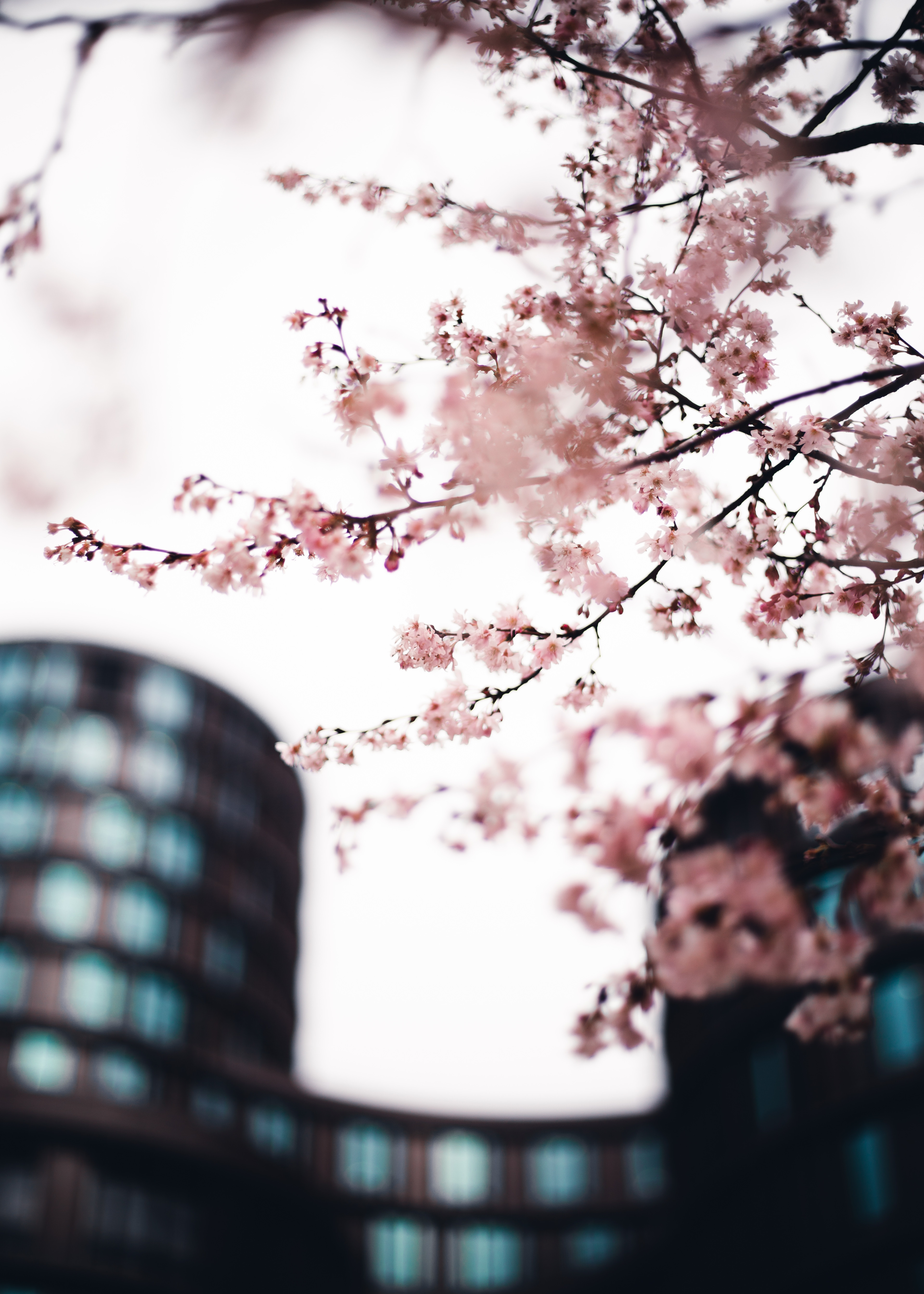 138992 Screensavers and Wallpapers Sakura for phone. Download Flowers, Pink, Sakura, City, Wood, Tree, Branches pictures for free