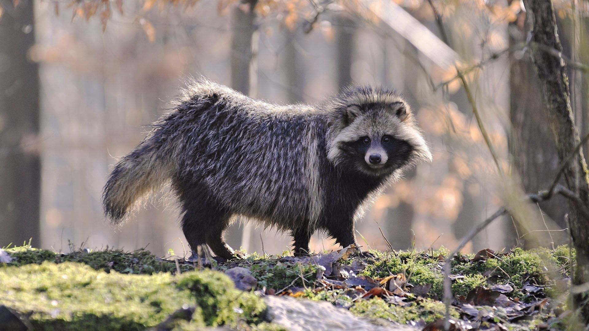 81744 Screensavers and Wallpapers Raccoon for phone. Download Animals, Autumn, Forest, Nice, Sweetheart, Wool, Raccoon pictures for free