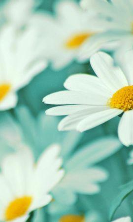 41490 télécharger le fond d'écran Plantes, Fleurs, Camomille - économiseurs d'écran et images gratuitement
