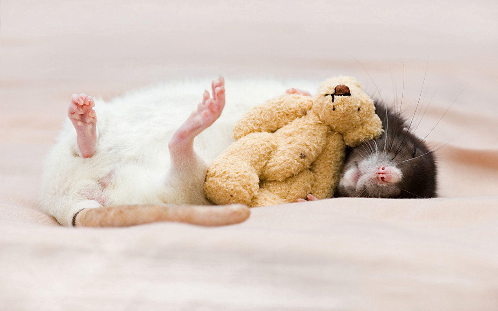 124009 Hintergrundbild herunterladen Tiere, Spielzeug, Schlafen, Traum, Nagetier, Ratte - Bildschirmschoner und Bilder kostenlos