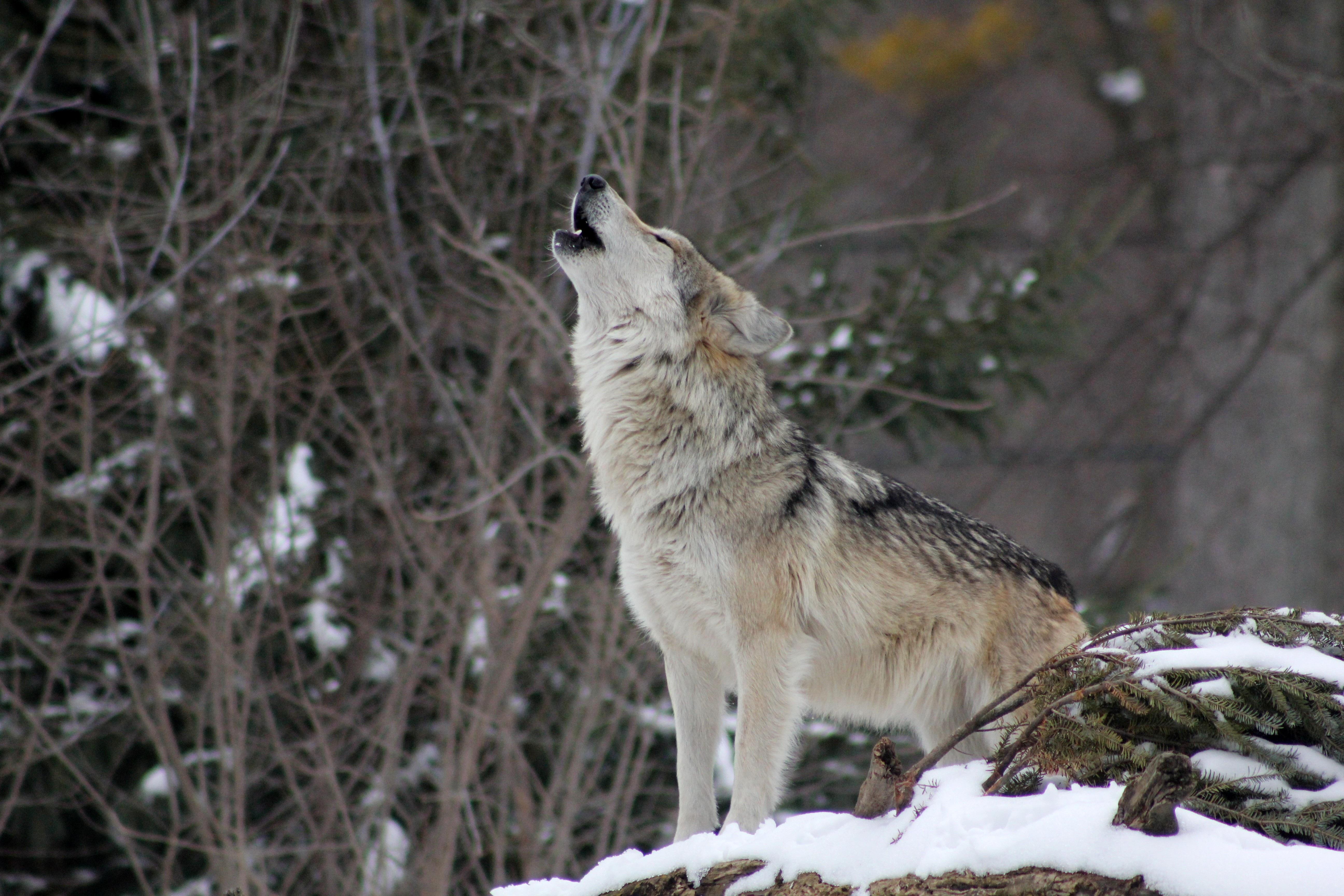 94612 télécharger le fond d'écran Animaux, Loup, Hurler, Neige, Forêt - économiseurs d'écran et images gratuitement