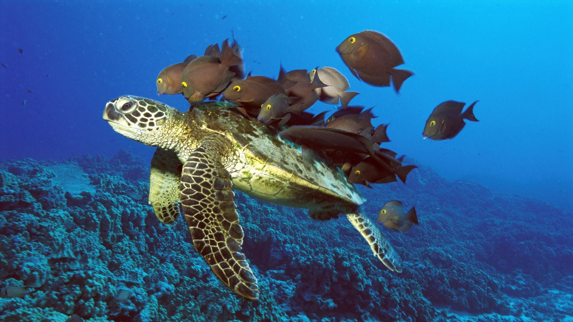 56869 download wallpaper Animals, Underwater Turtle, Underwater Tortoise, Underwater World, Fishes screensavers and pictures for free
