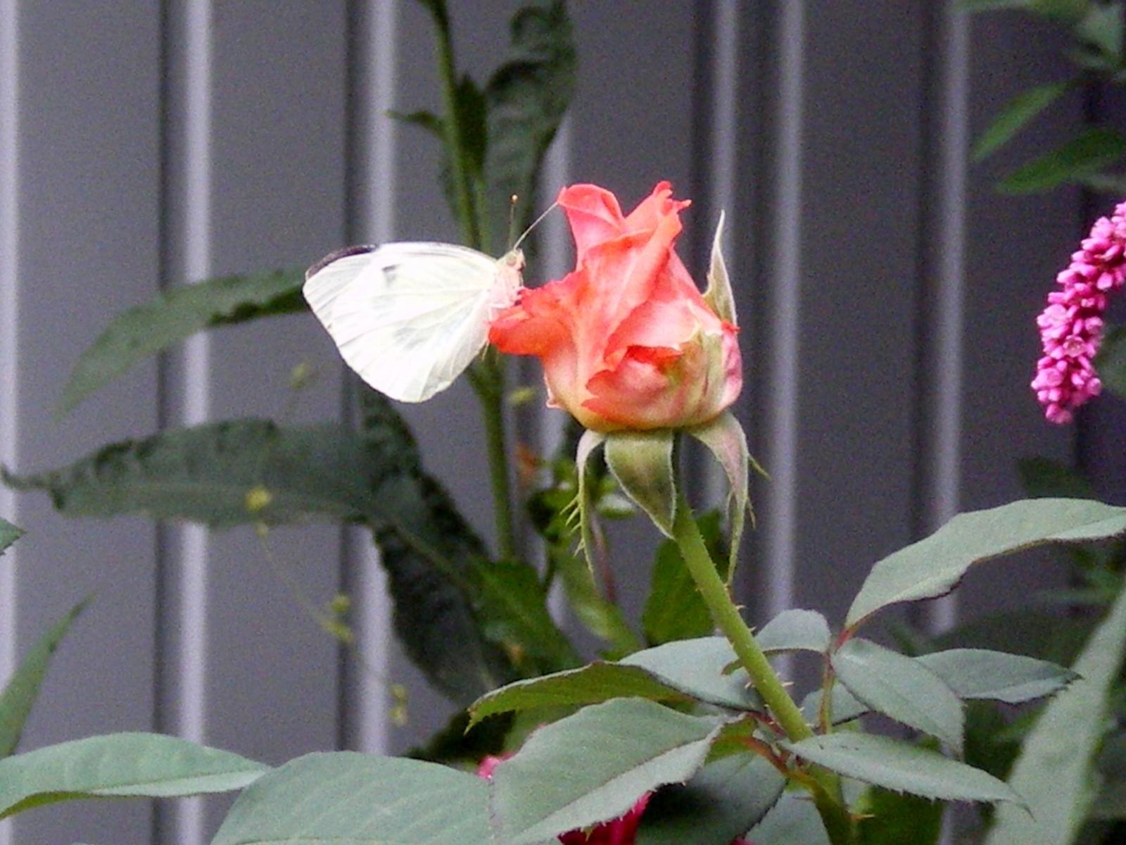 2517 скачать обои Растения, Бабочки, Цветы, Насекомые, Розы - заставки и картинки бесплатно
