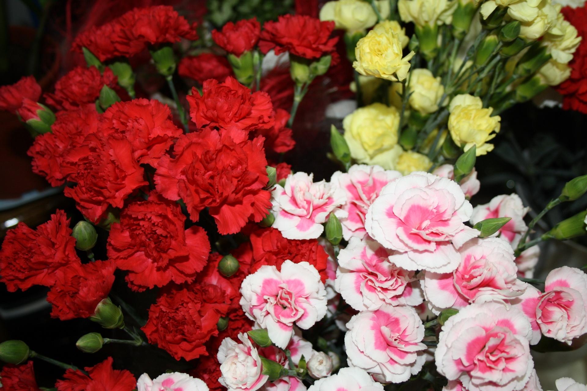 115545 Заставки и Обои Гвоздики на телефон. Скачать Цветы, Гвоздики, Яркие, Разные, Кустовые картинки бесплатно