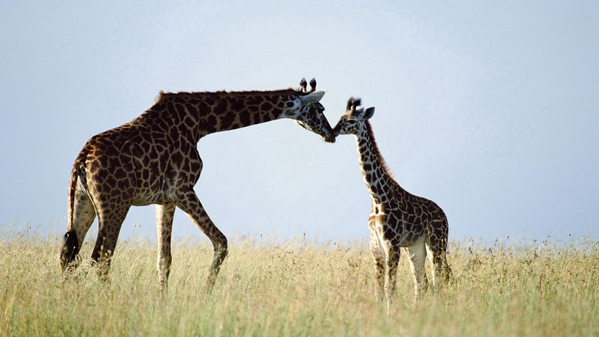 121885 download wallpaper Animals, Giraffe, Couple, Pair, Grass, Care screensavers and pictures for free