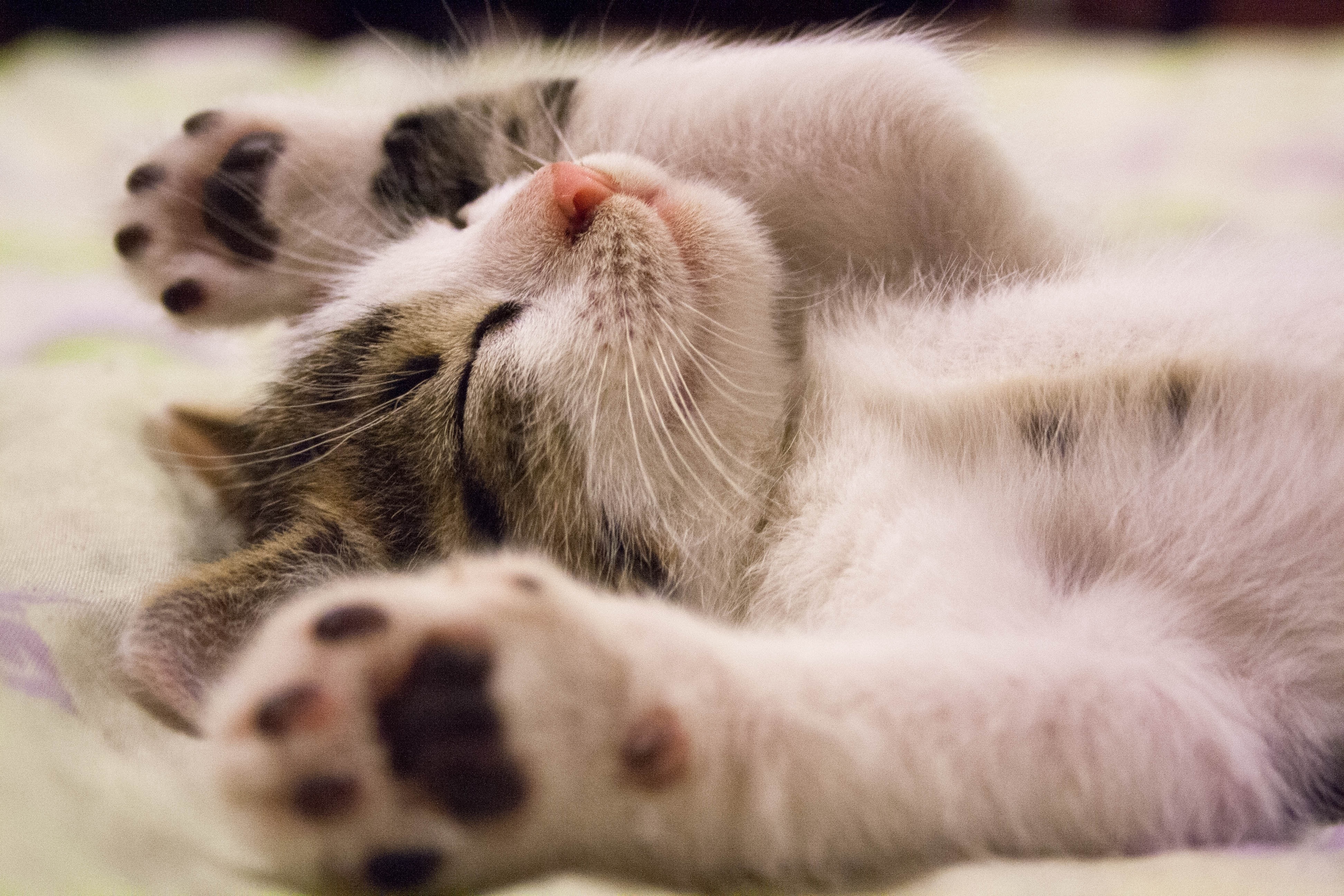 50711 Screensavers and Wallpapers Kitten for phone. Download Animals, Lies, Kitty, Kitten, Kid, Tot, Sleep, Dream pictures for free