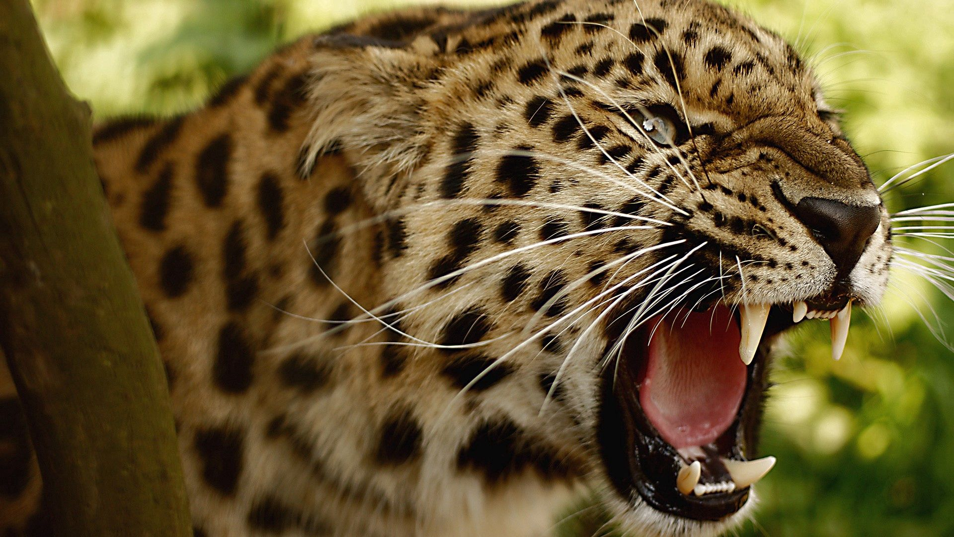 114065 download wallpaper Animals, Leopard, Grin, Muzzle, Big Cat screensavers and pictures for free