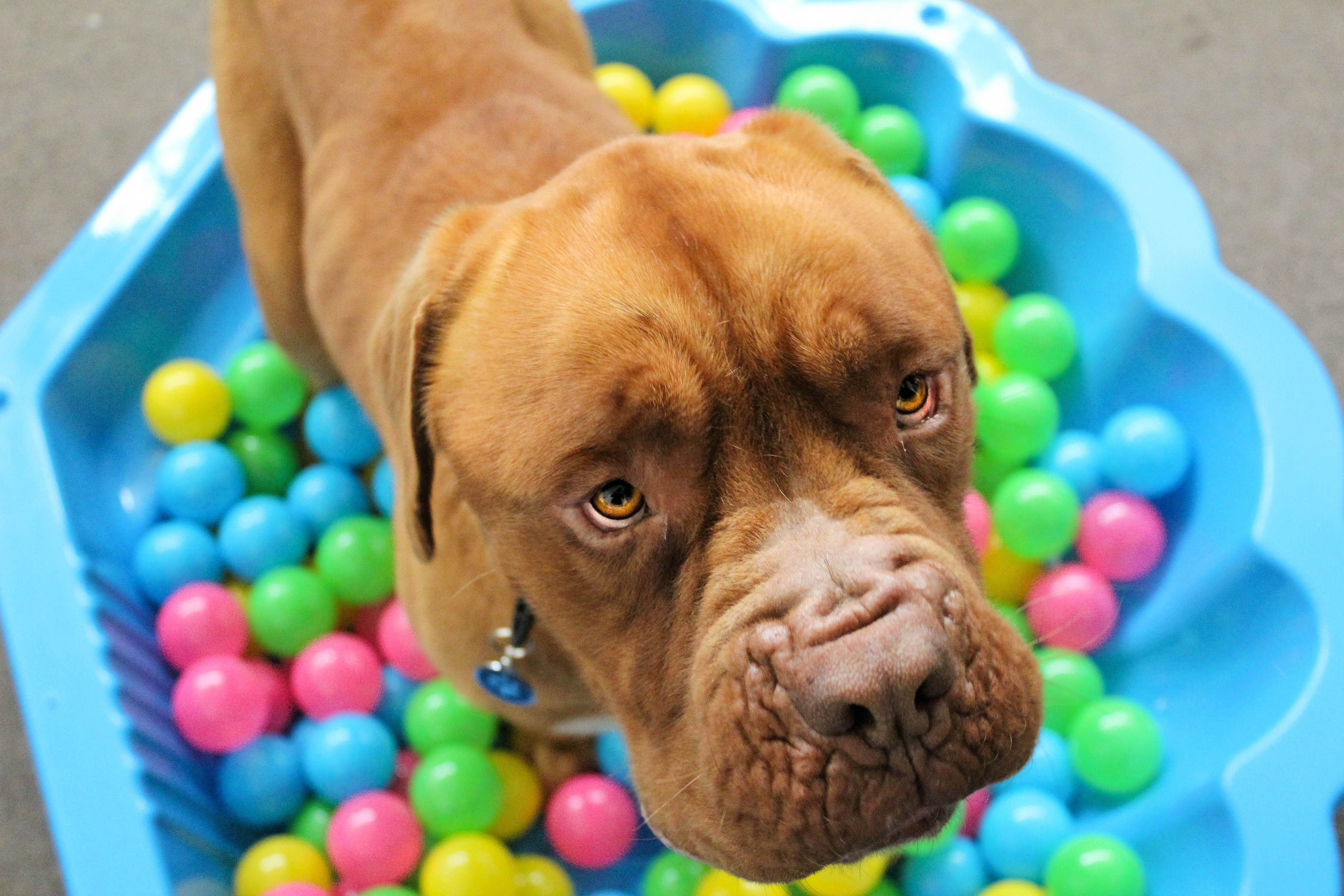 152529 download wallpaper Animals, Dog, Muzzle, Balls, Playful screensavers and pictures for free