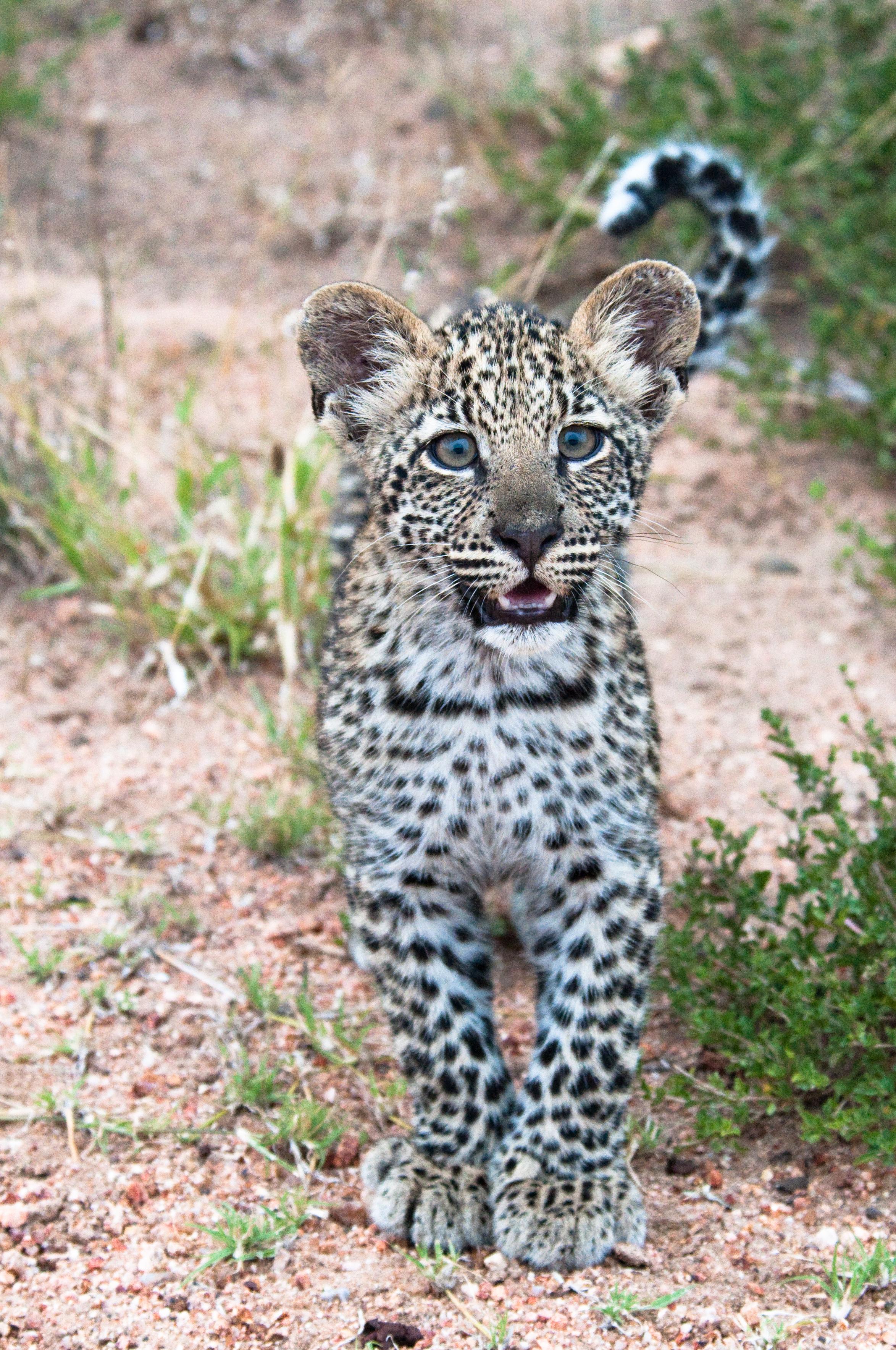 86637 скачать обои Животные, Леопард, Детеныш, Хищник, Милый, Африка, Дикая Природа - заставки и картинки бесплатно