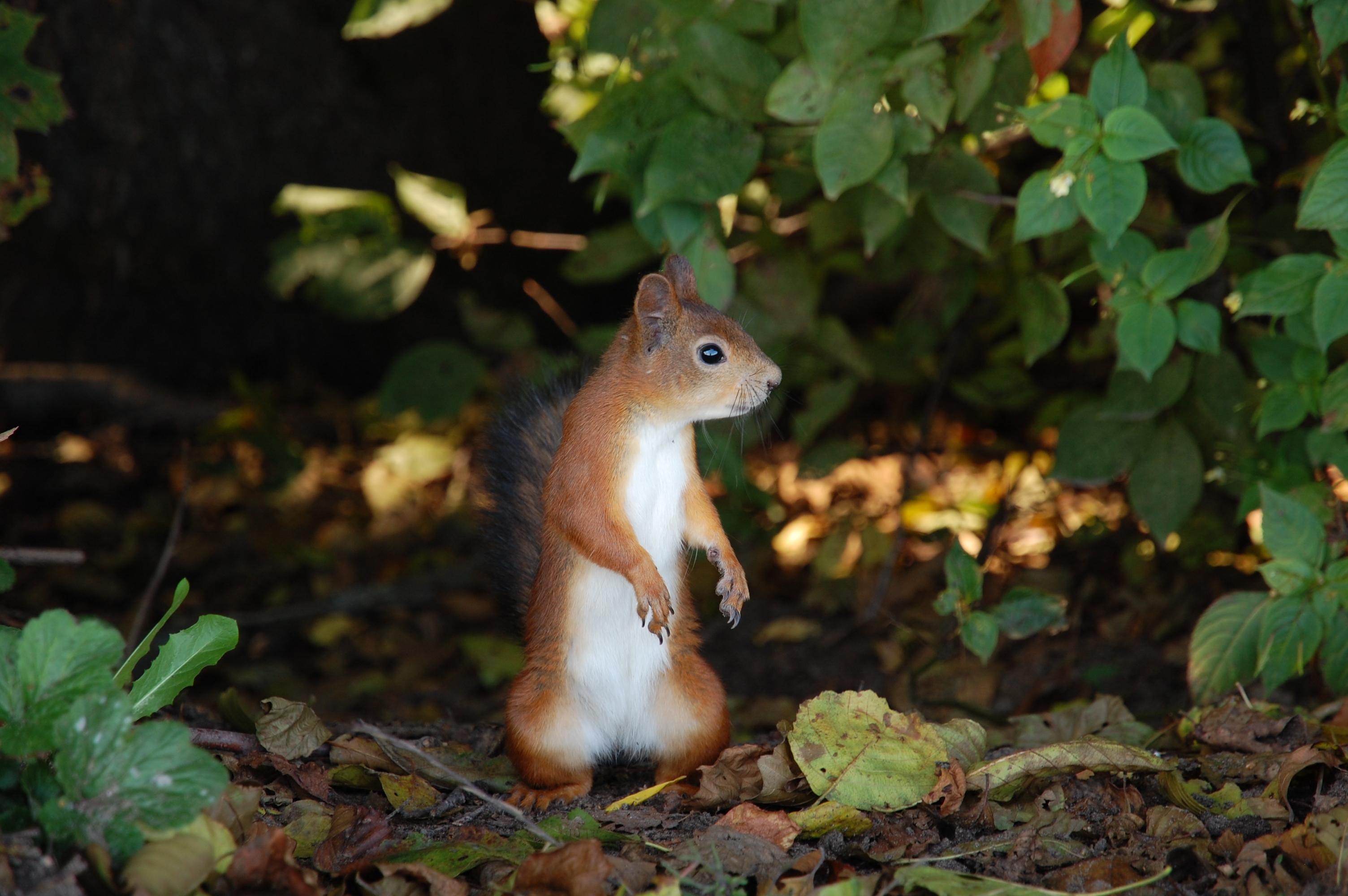 76613 Hintergrundbild herunterladen Herbst, Tiere, Eichhörnchen, Blätter, Stehen, Stand - Bildschirmschoner und Bilder kostenlos
