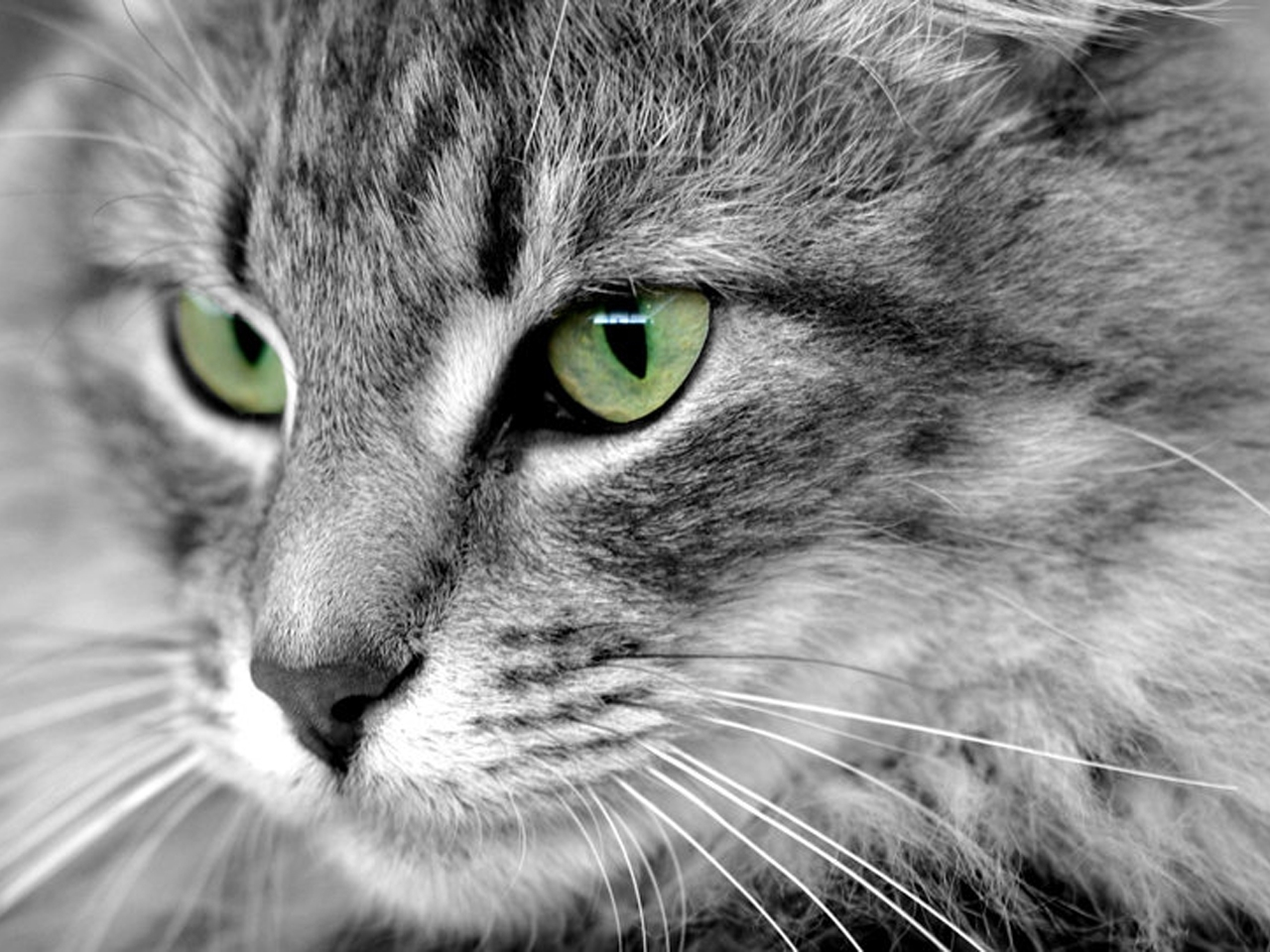 5942 download wallpaper Animals, Cats screensavers and pictures for free