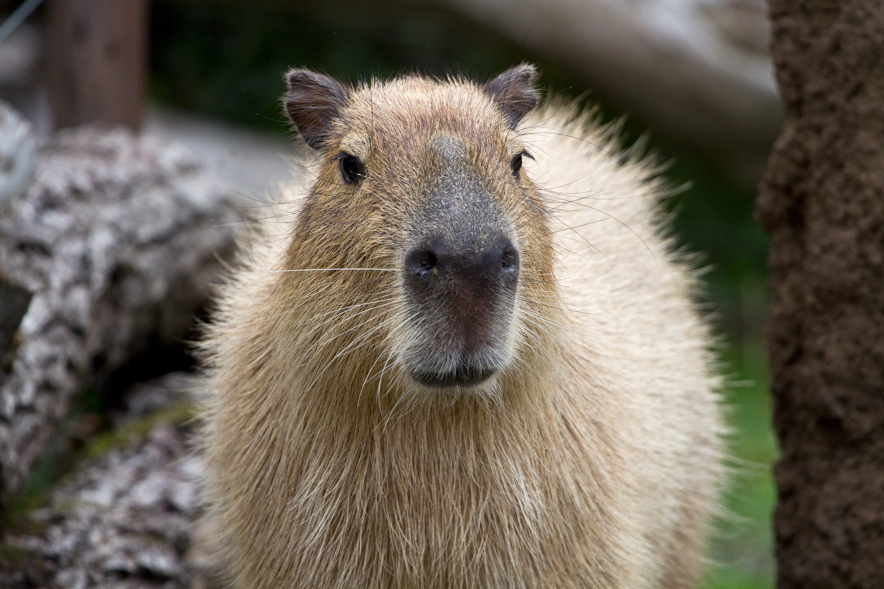 85568 Screensavers and Wallpapers Nose for phone. Download Animals, Muzzle, Nose, Capybara pictures for free