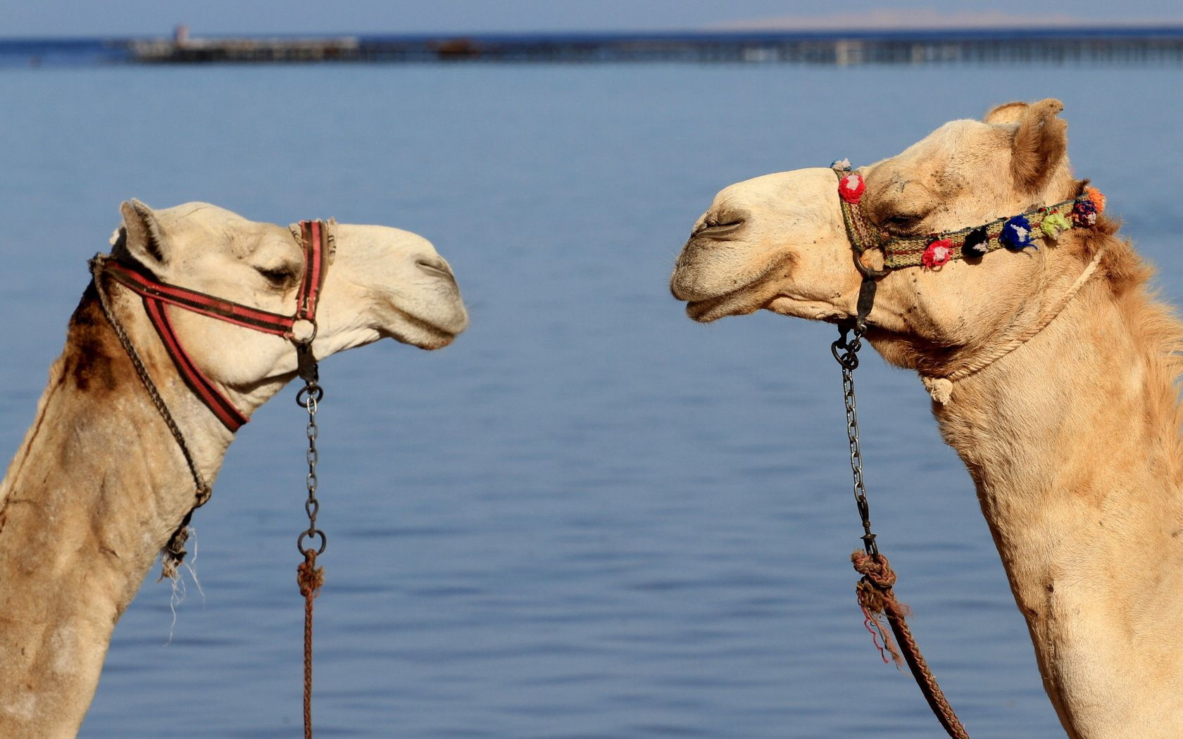51513 download wallpaper Animals, Couple, Pair, Team, Water, Camels screensavers and pictures for free
