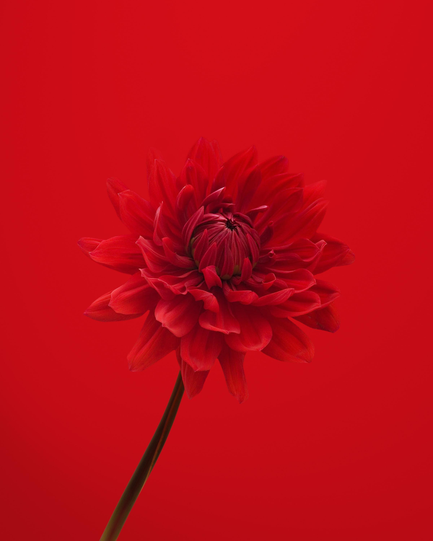 117677 скачать обои Красный, Цветы, Цветок, Лепестки, Георгин - заставки и картинки бесплатно