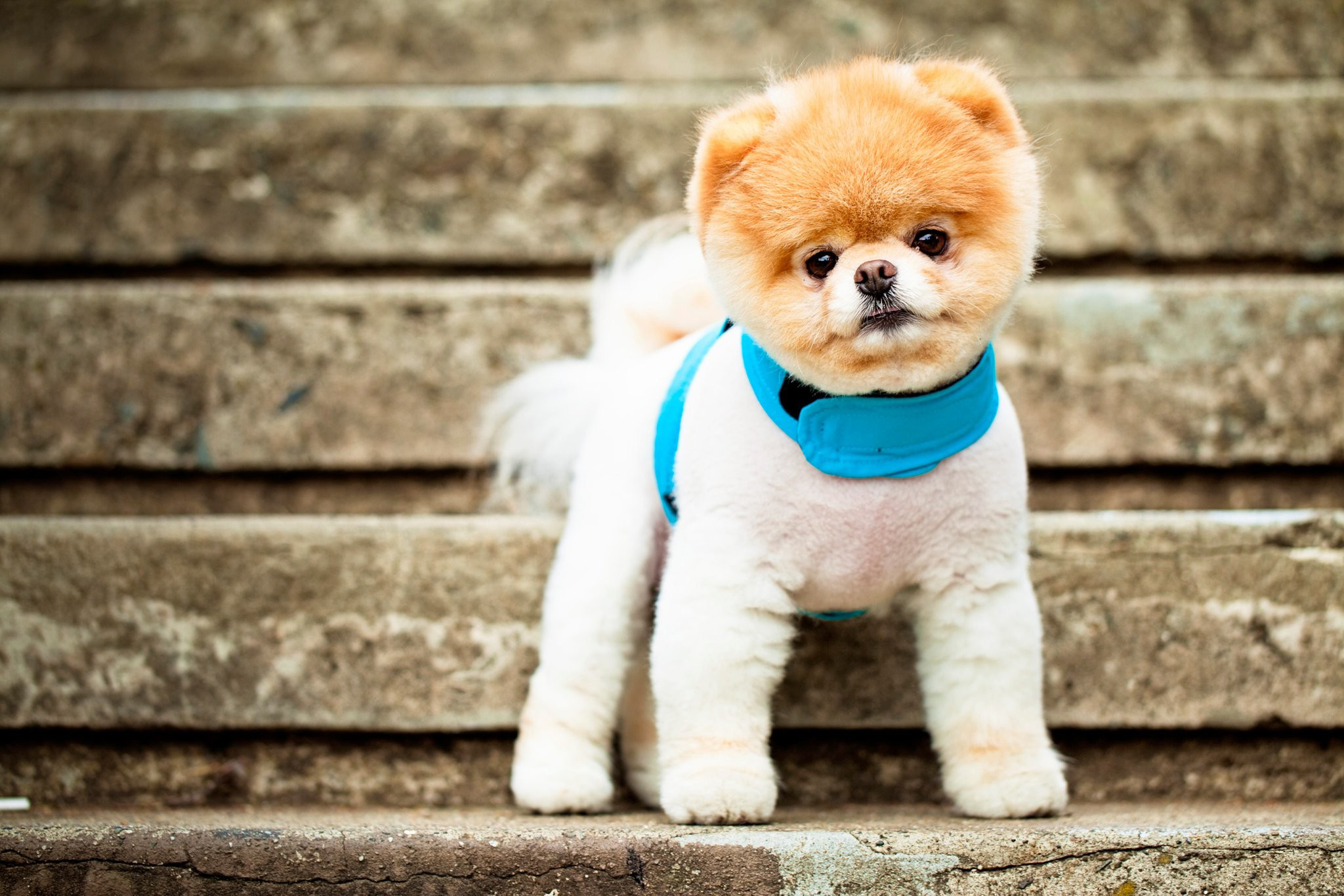 102584 Screensavers and Wallpapers Eyes for phone. Download Animals, Dog, Muzzle, Eyes, Stairs, Ladder, Ears, Breed, Collar, Pomeranian, Pomeranian Spitz pictures for free