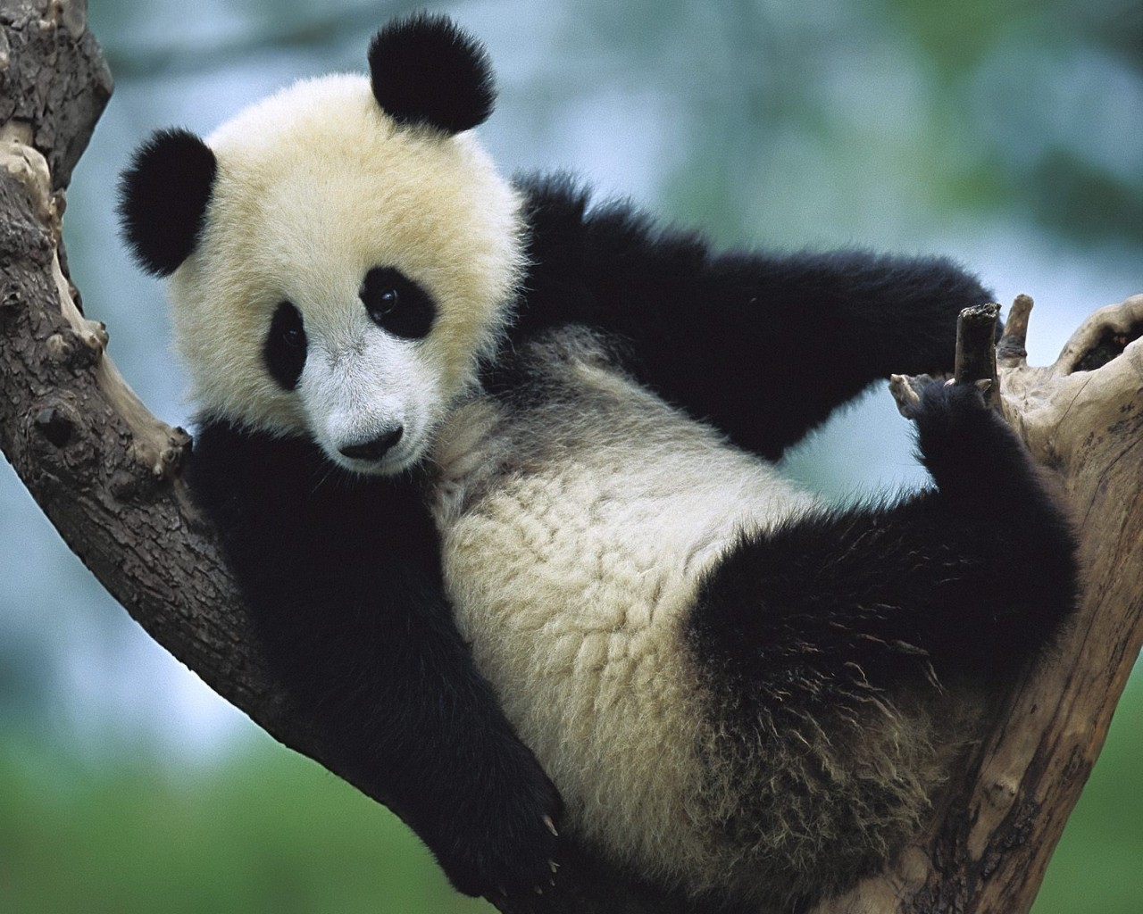 9847 download wallpaper Animals, Bears, Pandas screensavers and pictures for free