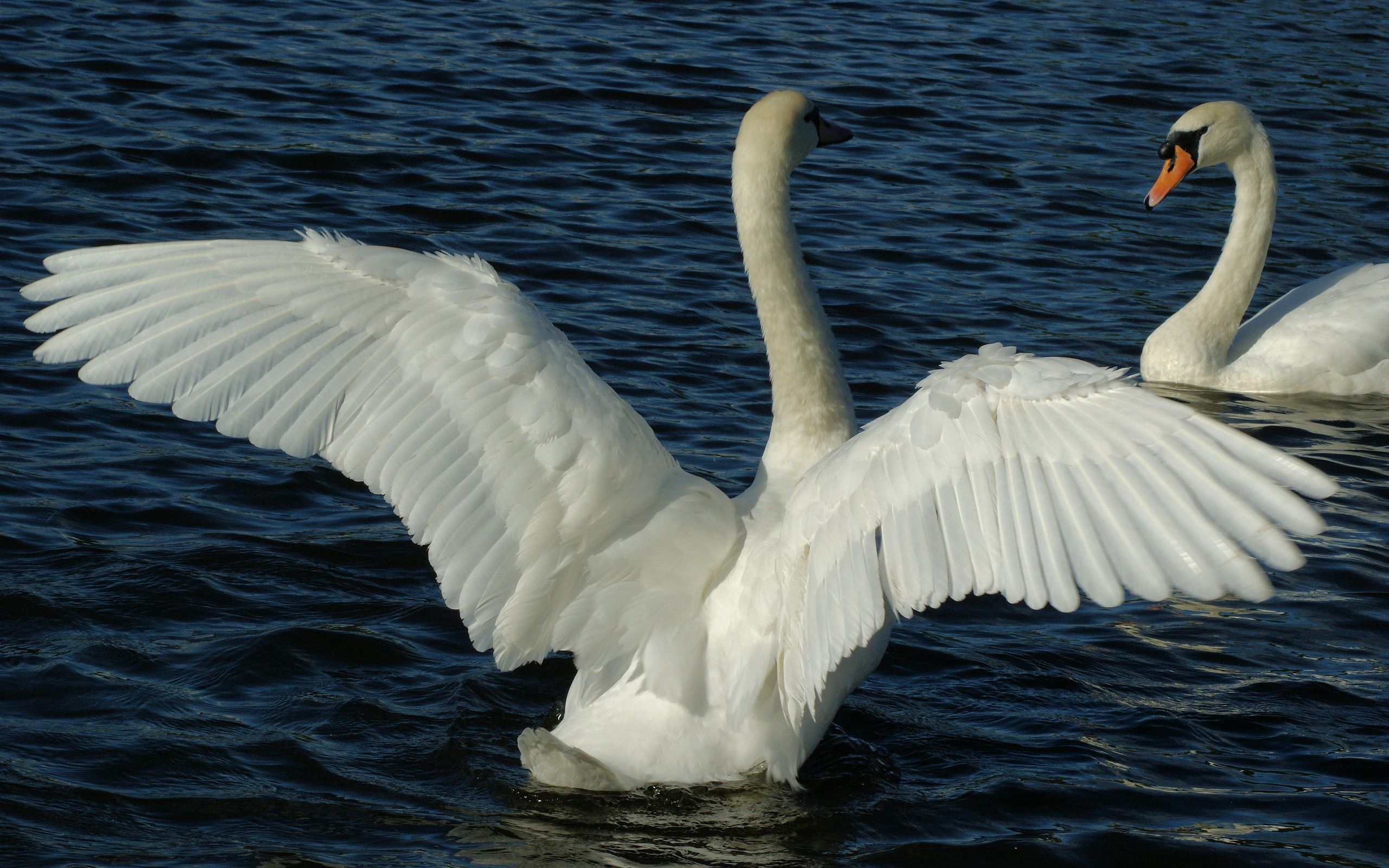 112421 download wallpaper Animals, Swans, Couple, Pair, Wings, Water, Swimming, Sweep, Wave screensavers and pictures for free