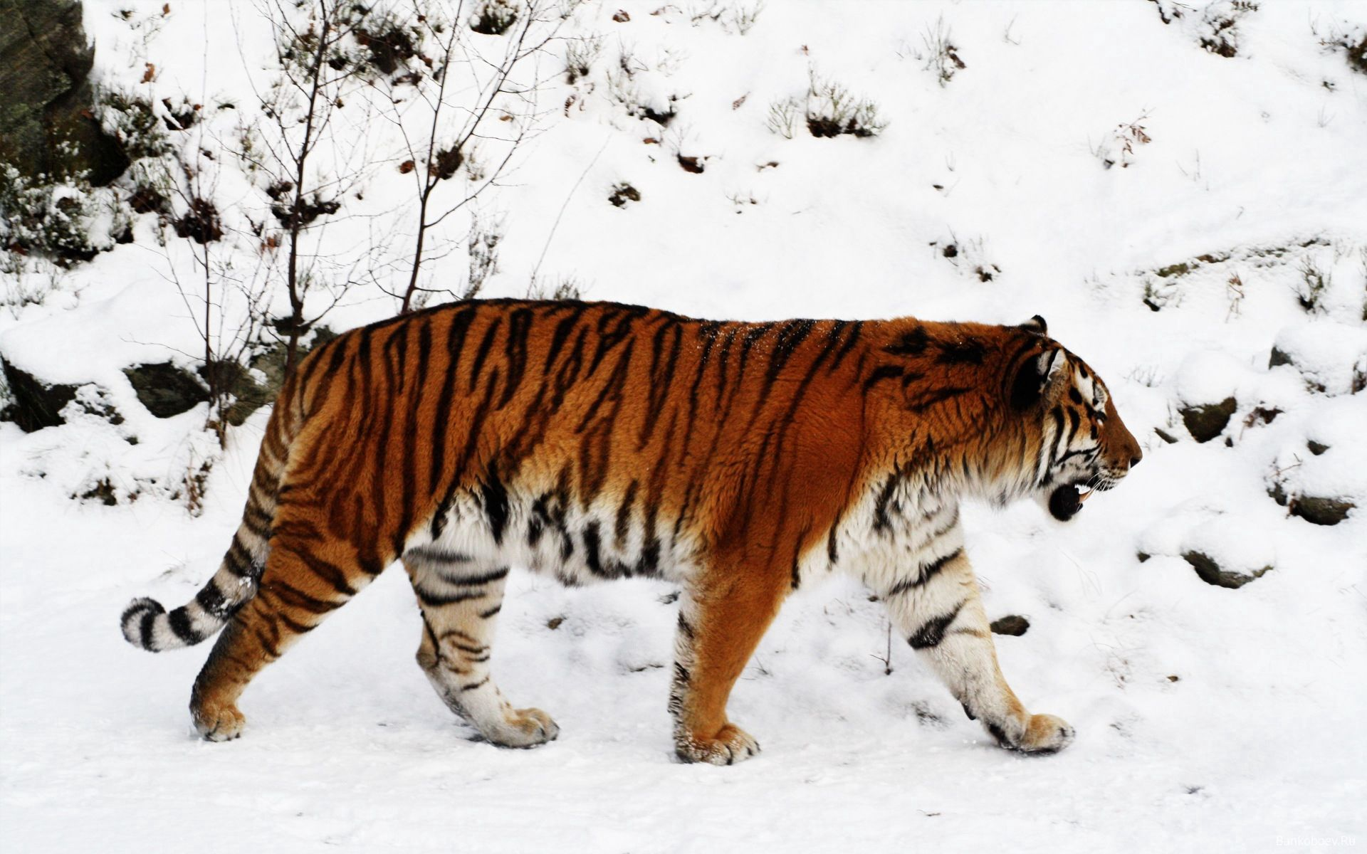 63571 download wallpaper Animals, Tiger, Snow, Stroll, Color, Big Cat, Predator screensavers and pictures for free