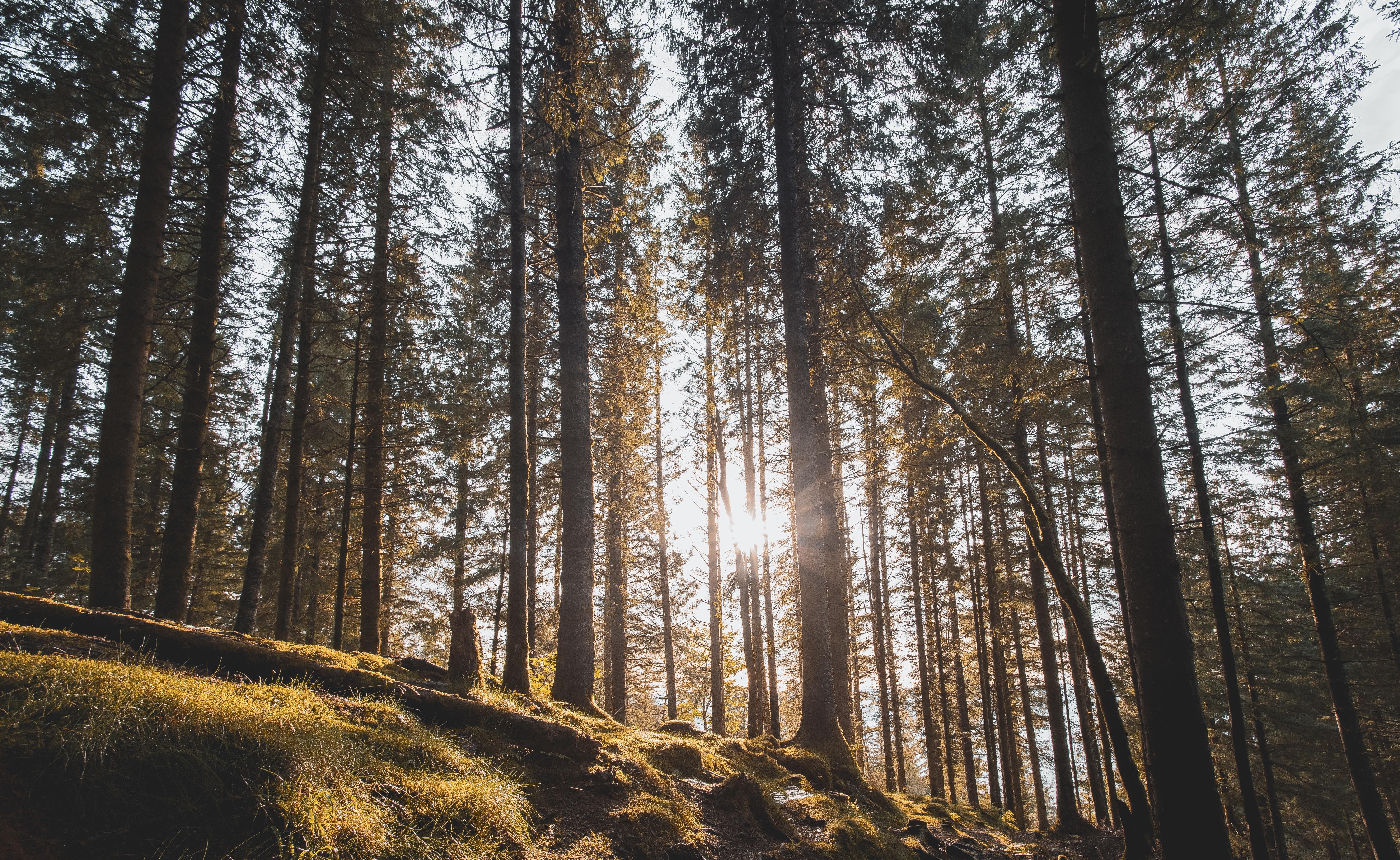 60670 скачать обои Природа, Лес, Деревья, Солнечный Свет, Солнце, Сосны - заставки и картинки бесплатно