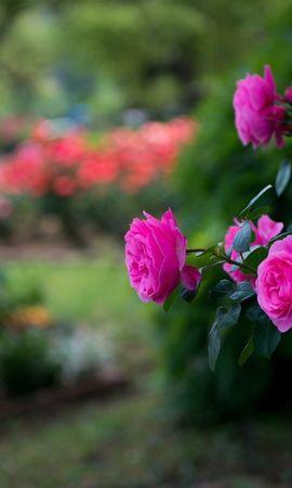 19754 baixar papel de parede Plantas, Rosas - protetores de tela e imagens gratuitamente